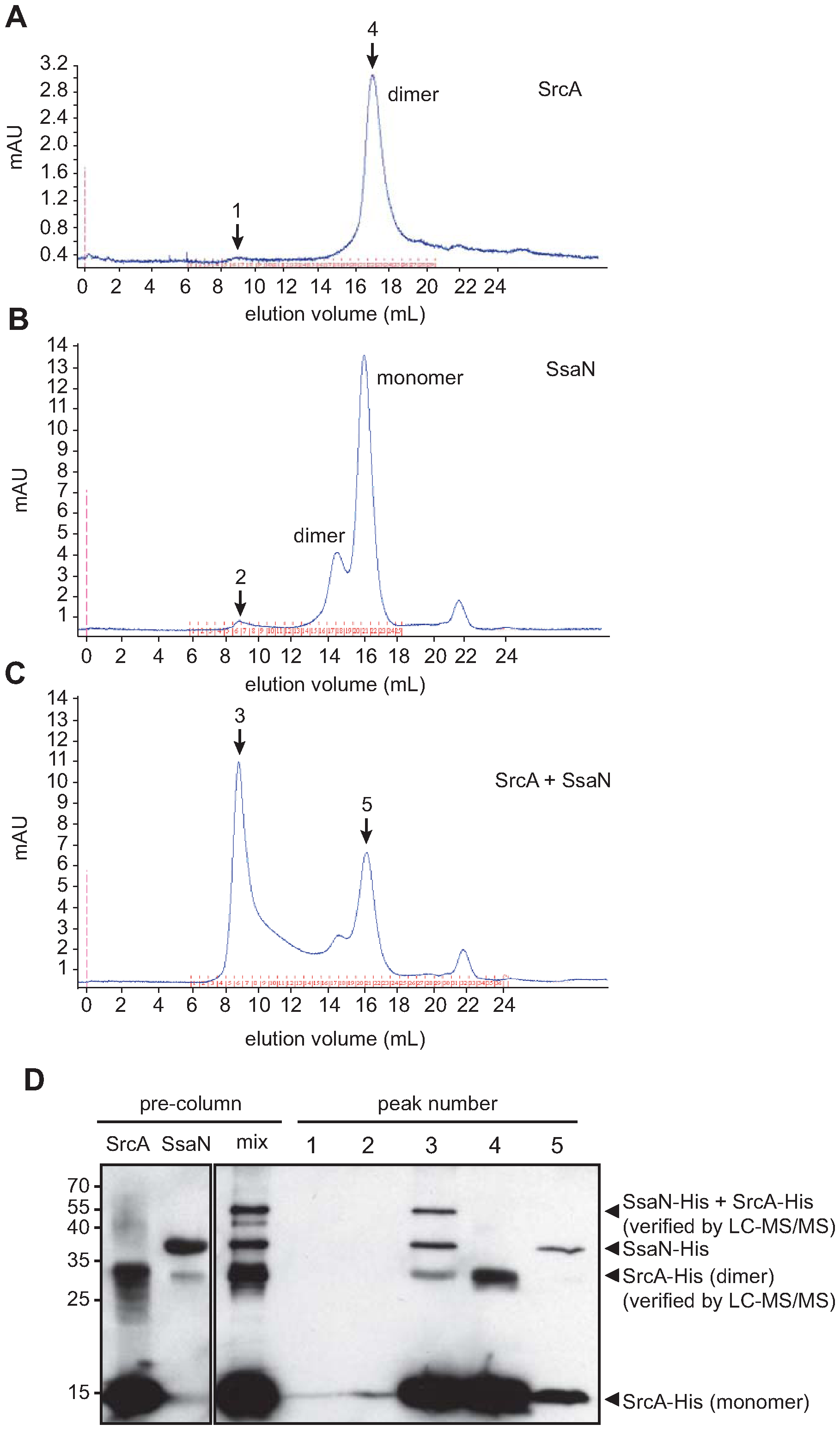 SrcA binds to the type III ATPase, SsaN, and induces its multimerization.