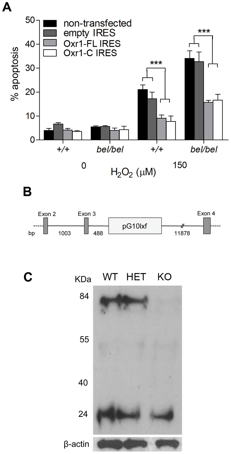 The shortest TLDc domain-containing Oxr1 isoform is able to confer resistance to oxidative stress <i>in vitro</i> and <i>in vivo</i>.
