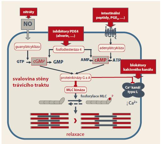 Schéma 1. PDE4 je přítomna také v hladké svalovině jiných orgánů, zejména v močovém traktu a v dýchacích cestách. Alverin citrát a jiná muskulotropní spazmolytika působí nejen na úrovni trávicí trubice, ale také na úrovni žlučových cest a v močovém traktu. Upraveno dle [2]. Scheme 1. Phosphodiesterase 4 is also present in the smooth muscle of other organs, especially in the urinary tract and in the airways. Alverine citrate and other musculotropic spasmolytics act not only at the level of the gastric tube, but also at the level of the biliary tract and in the urinary tract. Adapted from [2].