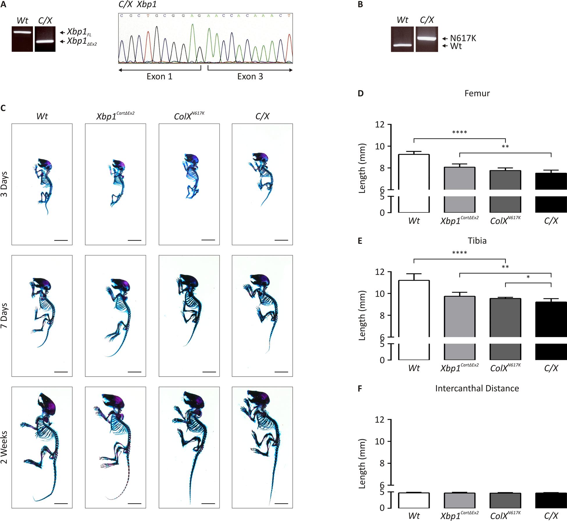 Genetic and morphometric characterization of <i>C/X</i> mice.