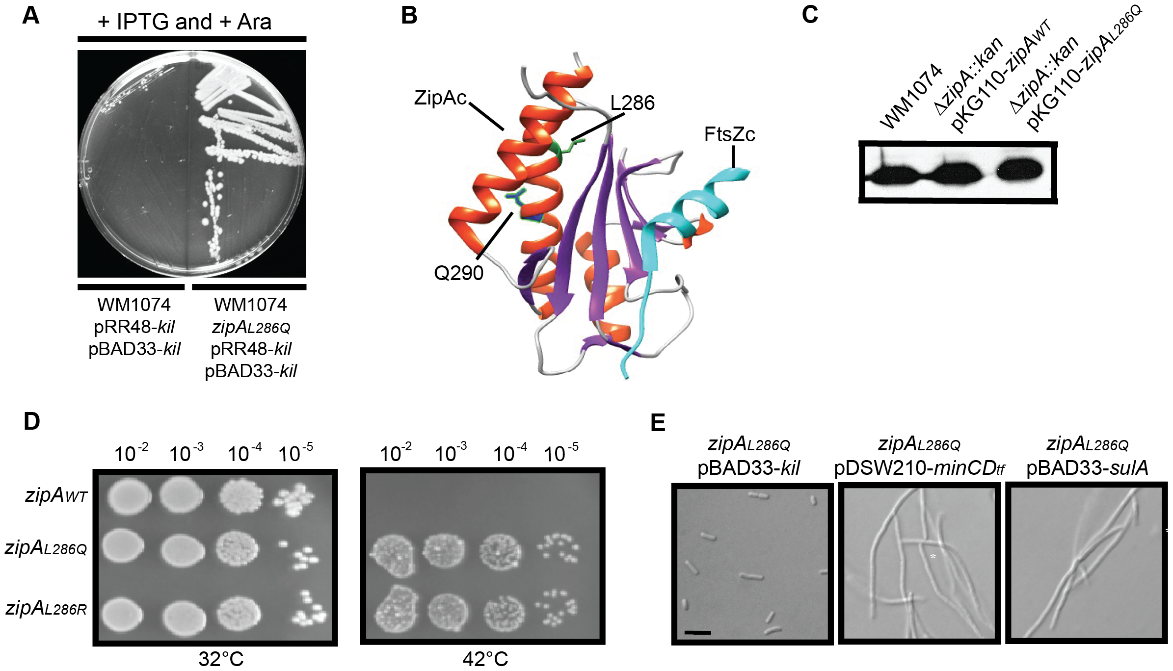 Isolation and characterization of Kil-resistant <i>zipA</i> alleles.