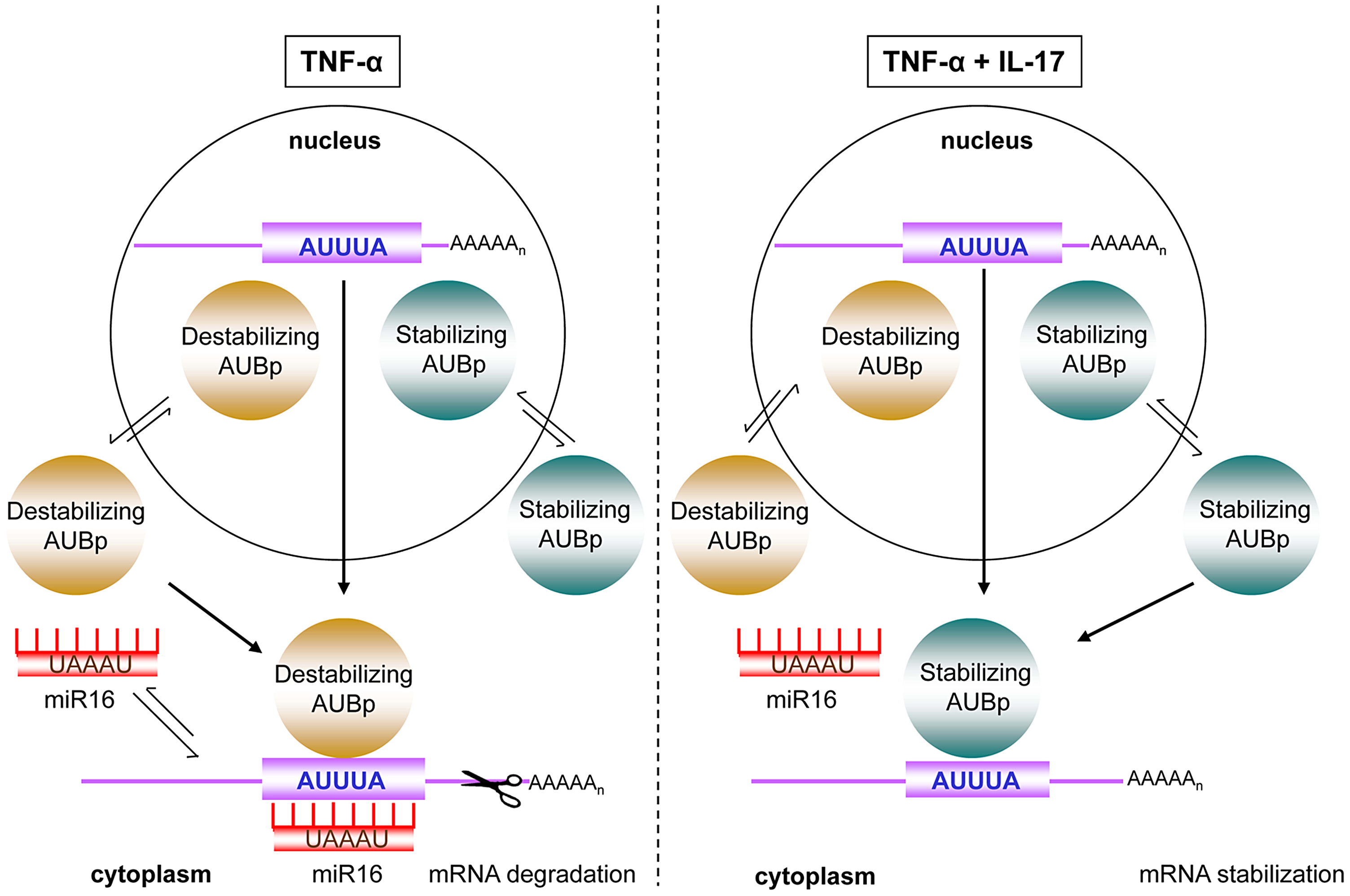 Model of IL-17 mediated regulation of ARE- mRNA expression by AUBps and miR16.