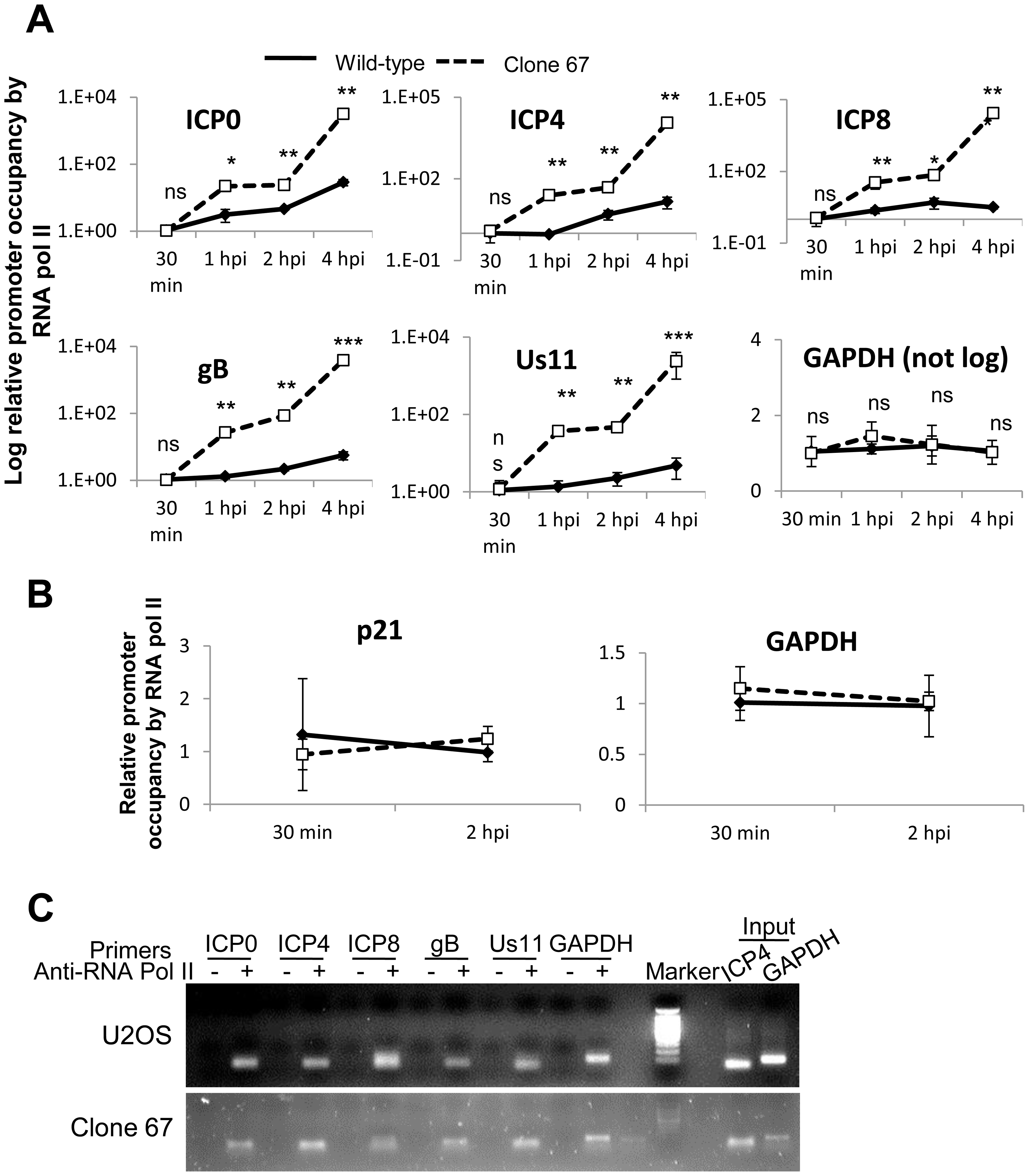 IFI16 prevents RNA Pol II accumulation at HSV-1 promoters.