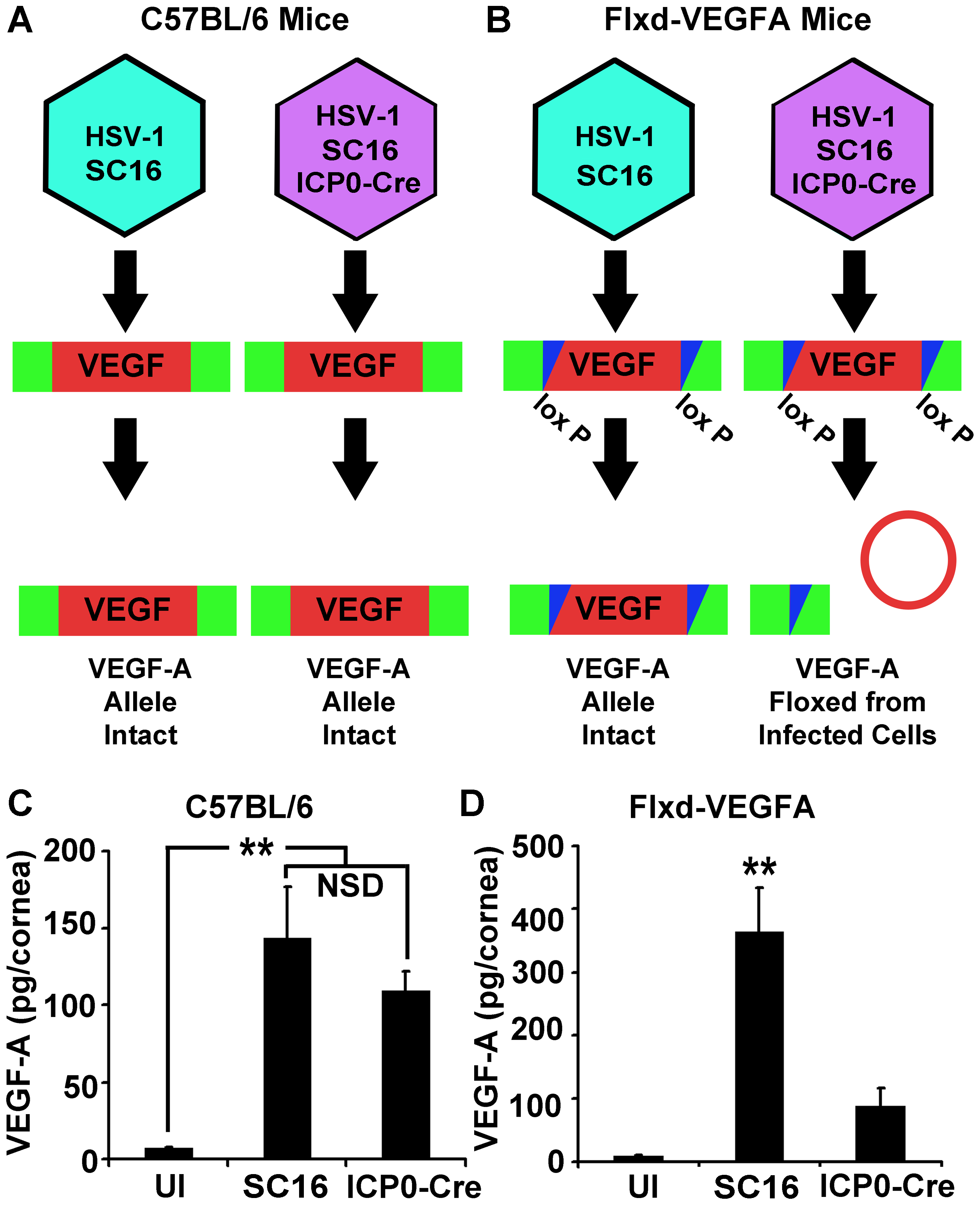 HSV-1 infected cells are the dominant source of VEGF-A during acute HSV-1 infection.