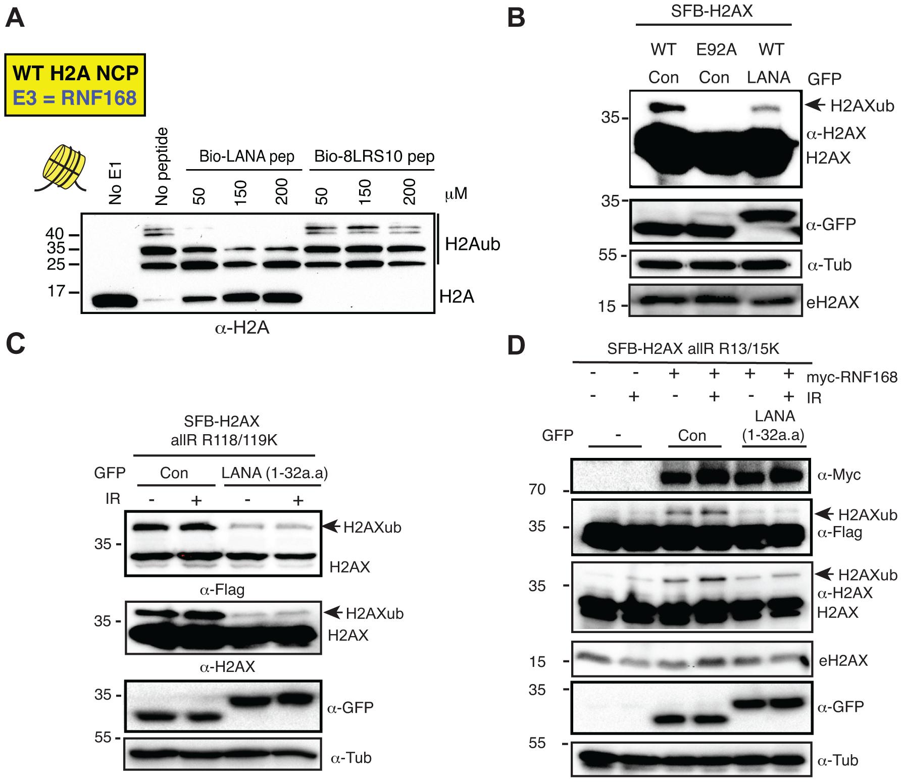 The KSHV LANA peptide inhibits histone ubiquitination <i>in vitro</i> and <i>in vivo</i>.