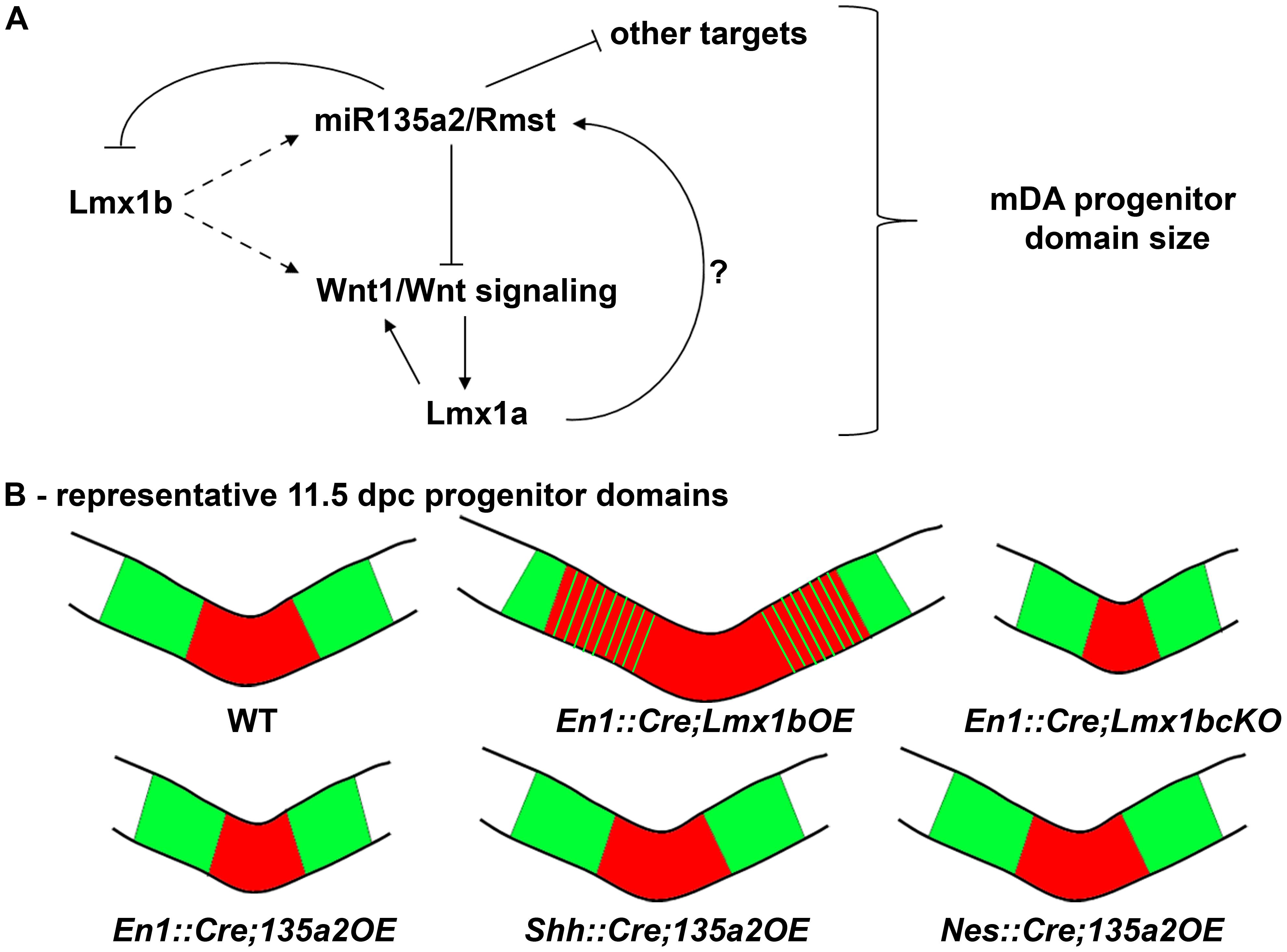 Opposing effects of <i>Lmx1b</i> and <i>miR135a2</i> on dopamine progenitor allocation.