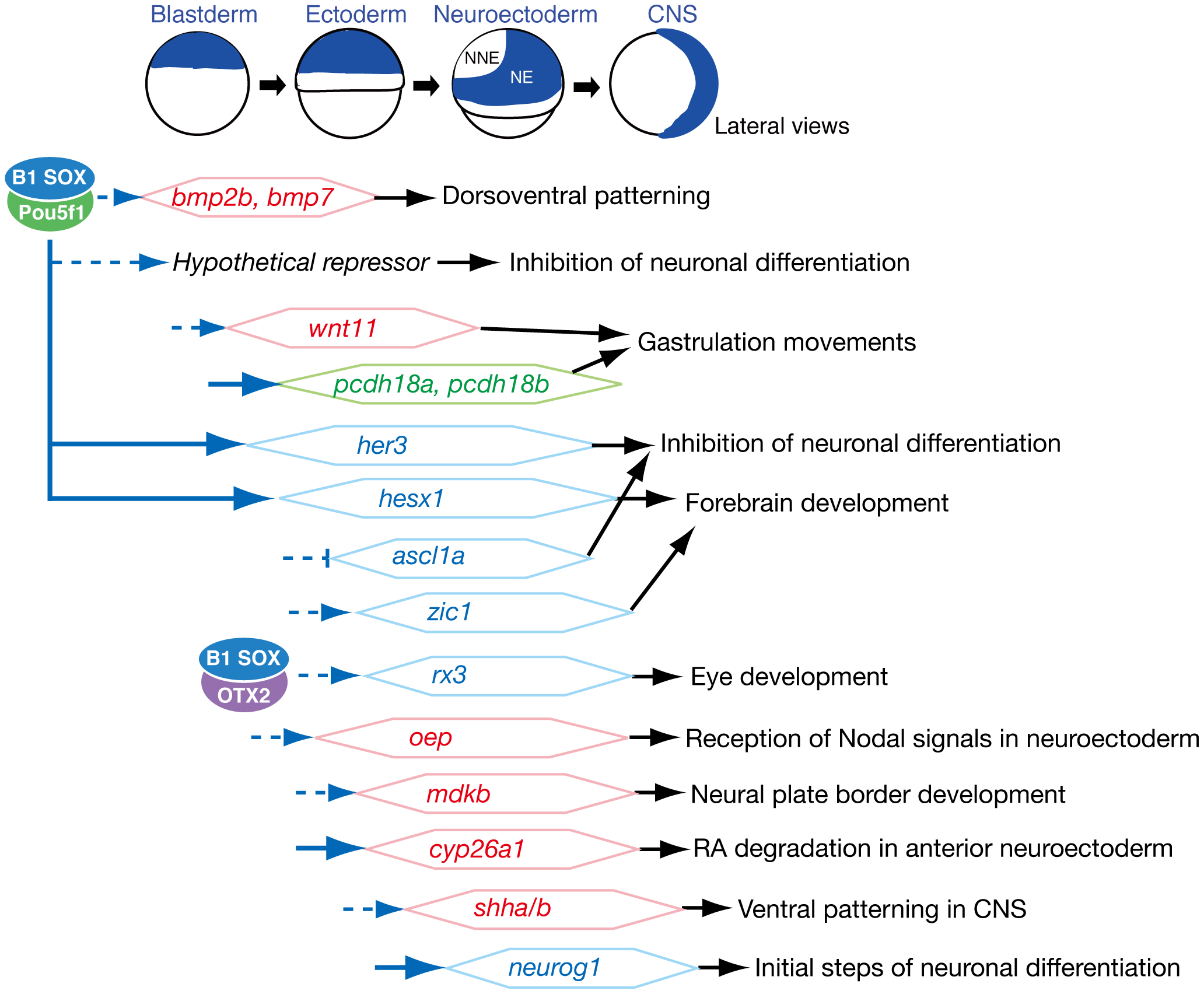 Summary of embryonic stage-dependent target gene regulation by B1 SOX.