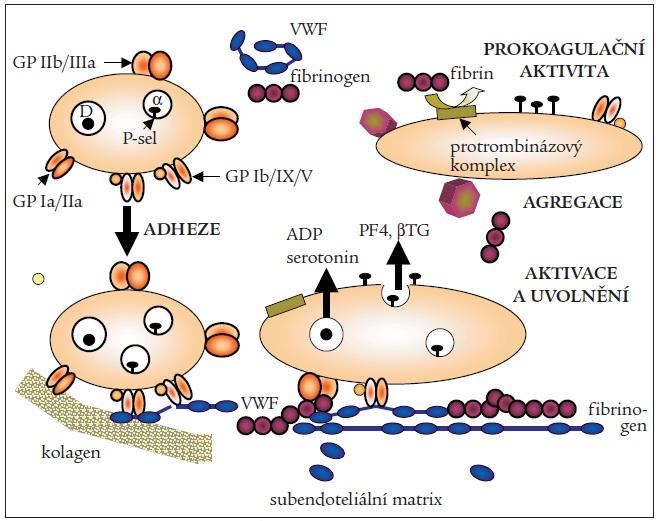 Aktivace krevních destiček v hemostáze.