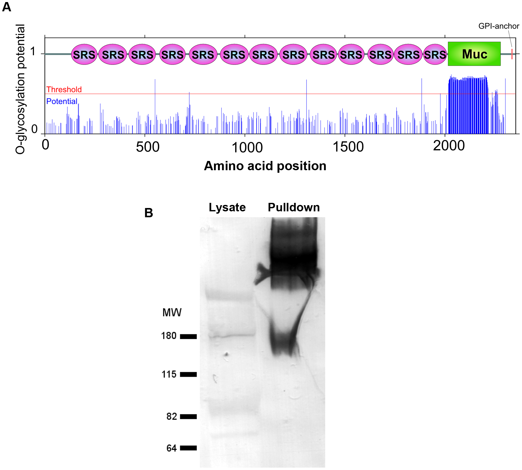 The mucin domain of CST1 is highly O-glycosylated.