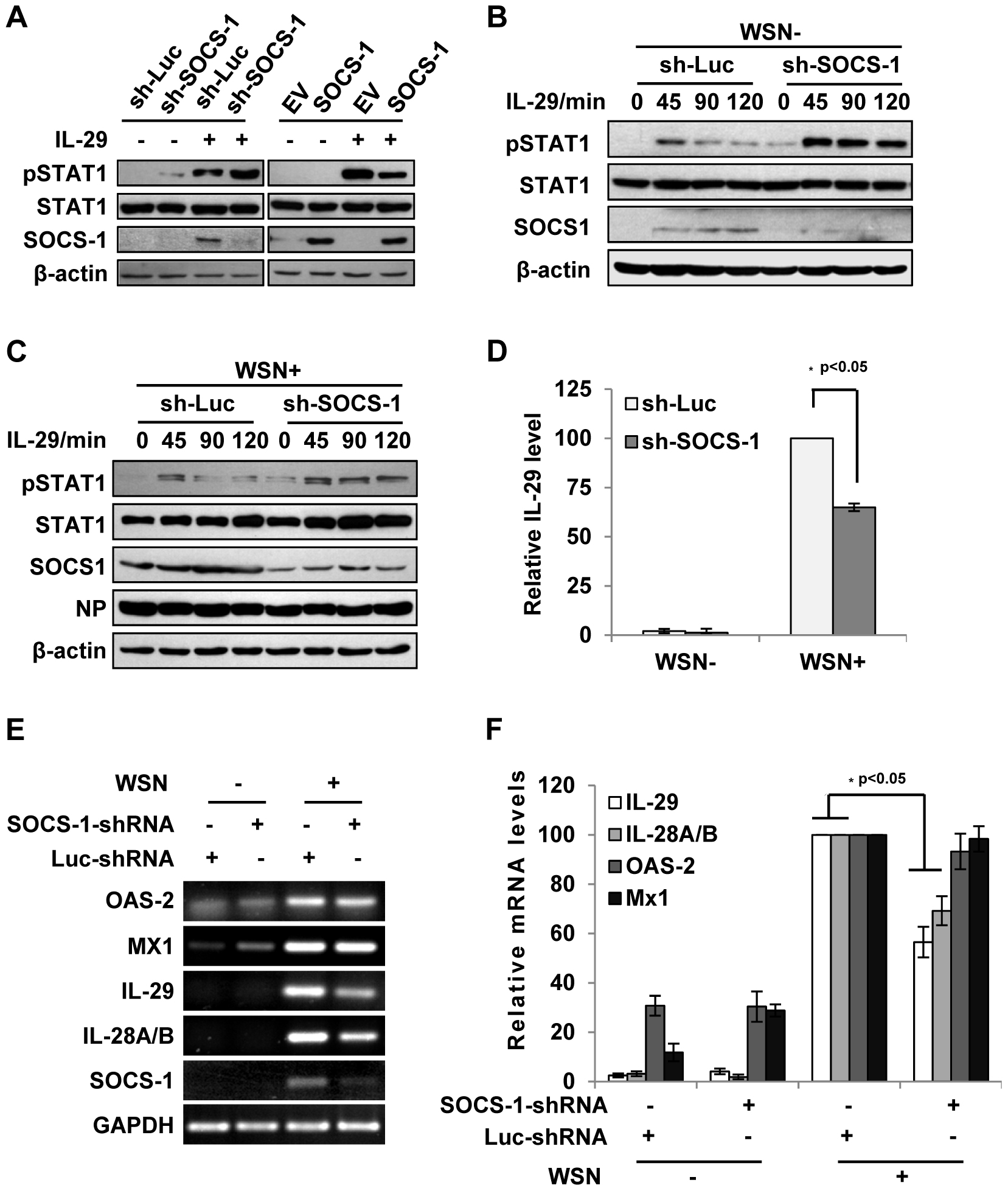 Inhibition of cytokine-mediated STAT1 activation by SOCS-1 contributes to overproduction of IFN-λ during IAV infection.