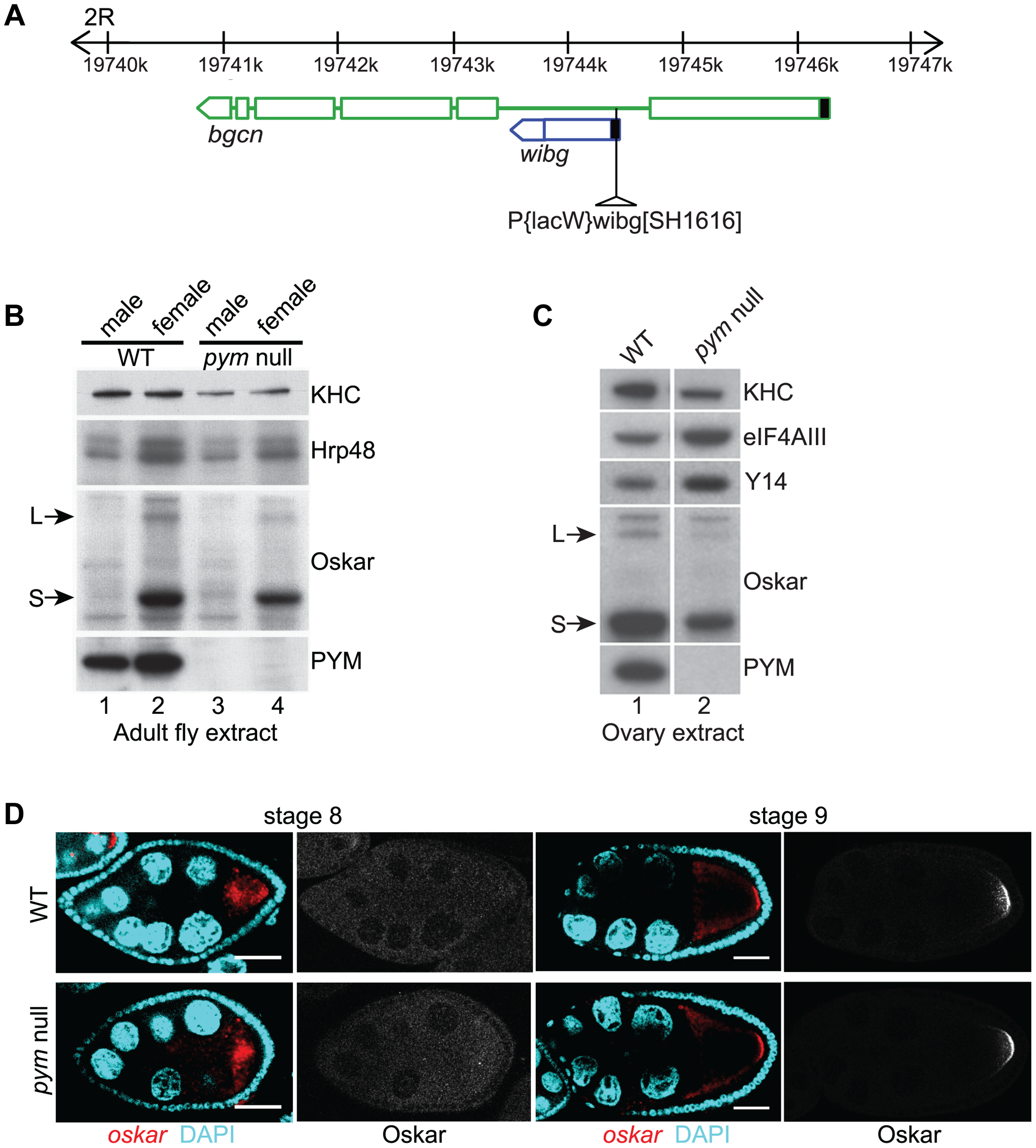 PYM is a non-essential gene in <i>Drosophila</i>.