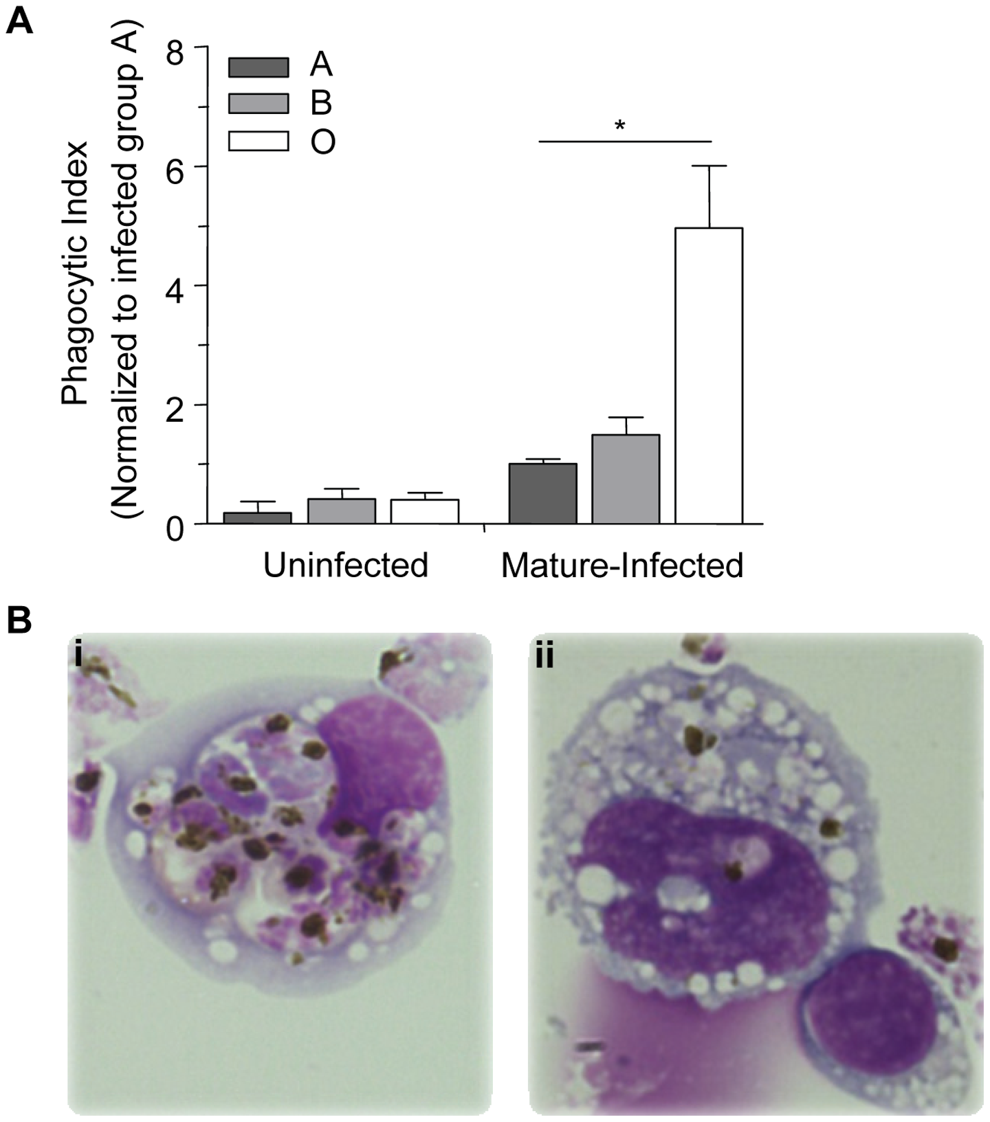 Murine monocytes phagocytose infected O erythrocytes more efficiently <i>in vivo</i> than infected A or B erythrocytes.