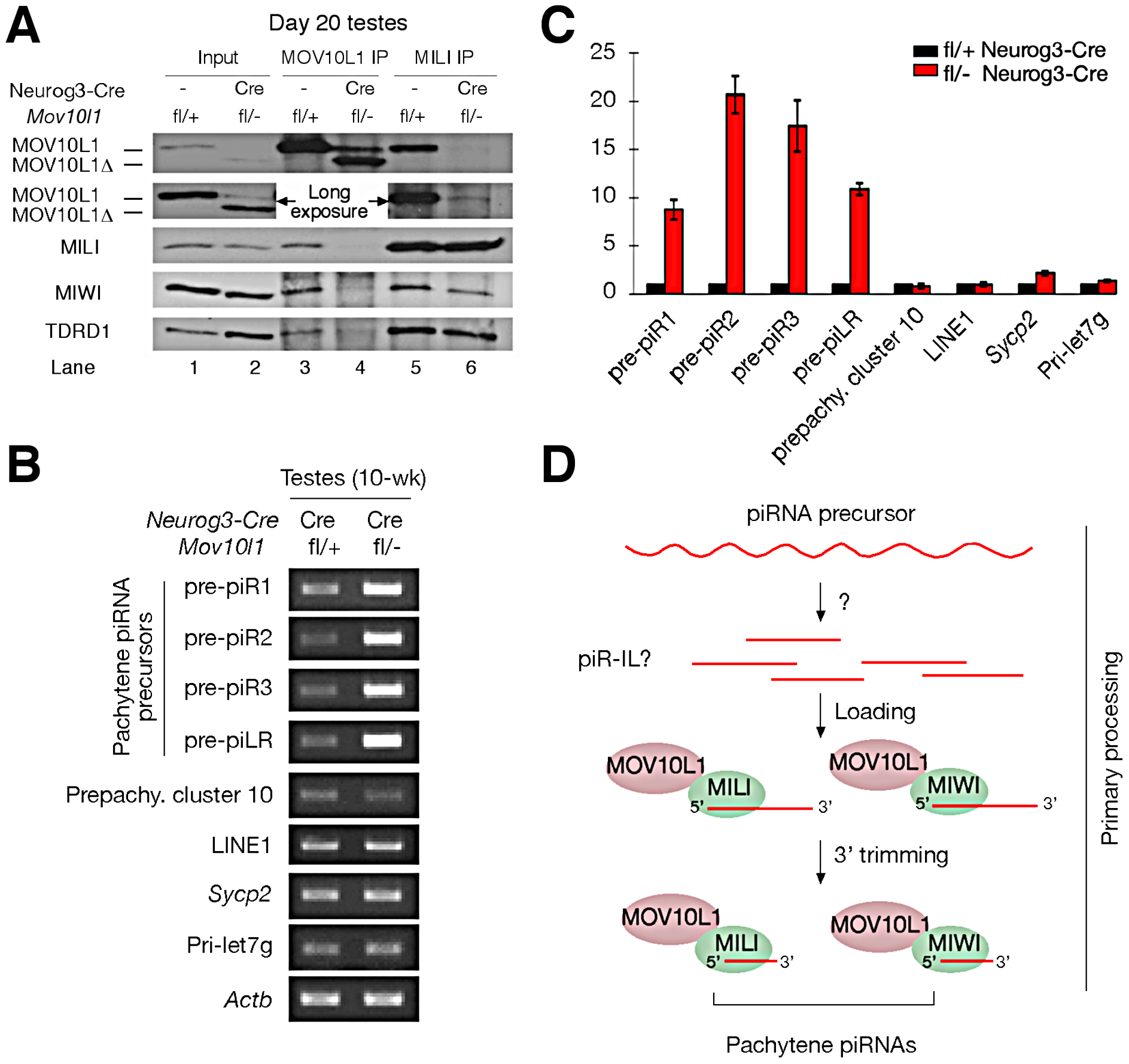 MOV10L1 is essential for the primary processing of pachytene piRNA precursors.