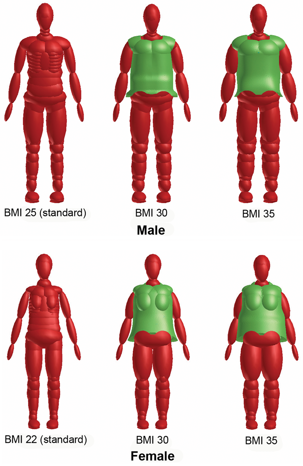 Standard and obese dummy models for male (top) and female (bottom).