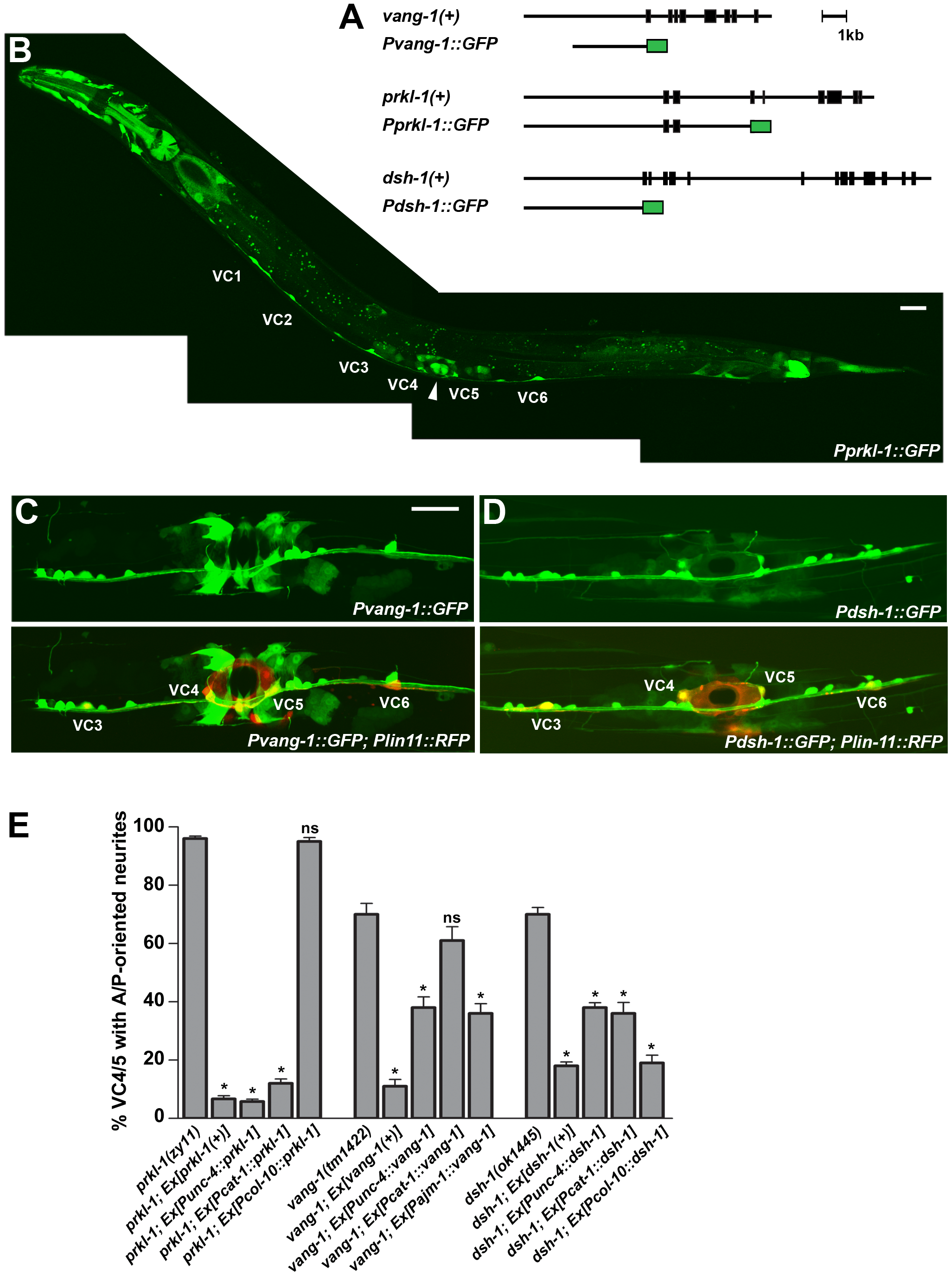 PCP genes act autonomously in VC4 and VC5 and non-autonomously from epithelial cells to inhibit neurite growth.