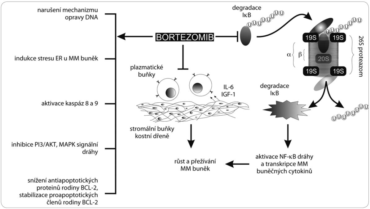 Mechanizmus působení bortezomibu. Bortezomib blokuje proces degradace IκB, která je klíčem k aktivaci NFκB. Dále bortezomib snižuje adhezi plazmatických buněk ke stromálním buňkám kostní dřeně a navozuje apoptózu aktivací kaspáz 8 a 9. Bortezomib v buňce narušuje mechanizmus opravy DNA, indukuje apoptózu narušením membrány endoplazmatického retikula, inhibuje MAPK signální dráhy, snižuje hladiny antiapoptotických proteinů a stabilizuje hladiny proapoptotických proteinů.