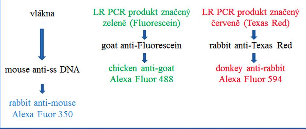Schéma trojbarevné detekce pomocí značených protilátek.
