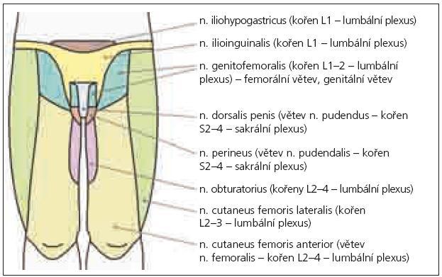 Senzitivní inervace perianogenitální oblasti – ventrální pohled.