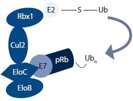 Degradačný komplex vytvorený E7 onkoproteínom [11].