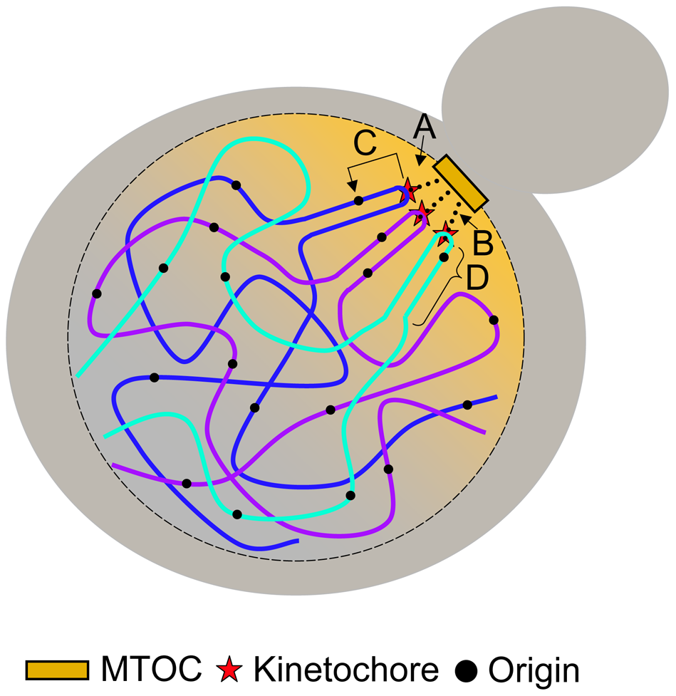 Models for centromere-mediated early origin activation.