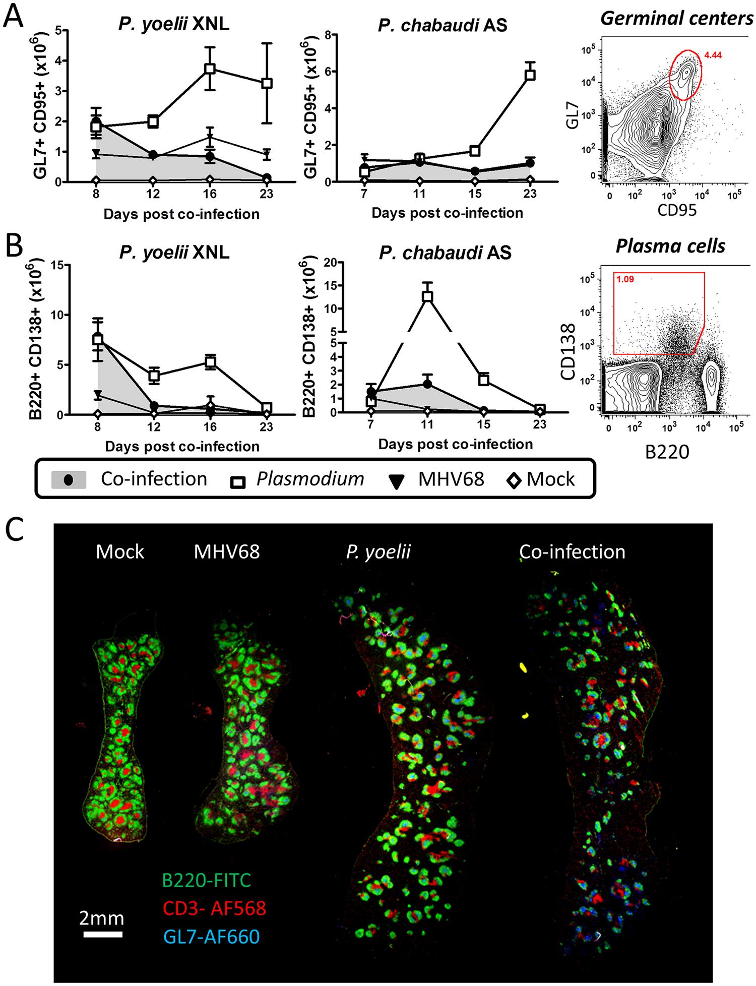 MHV68 suppresses splenic B cell responses during co-infection with <i>Plasmodium</i>.