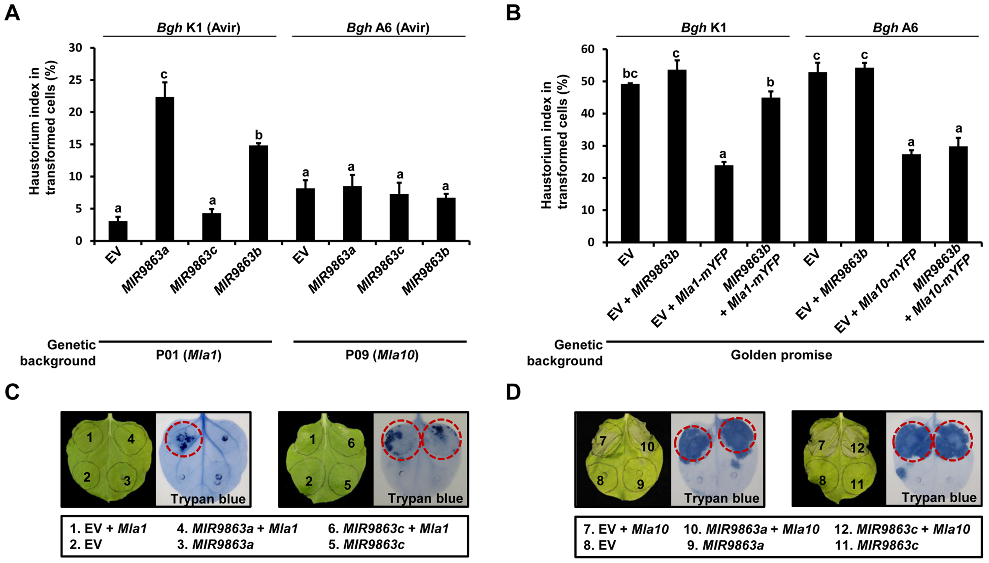 Overexpression of <i>MIR9863a</i> and <i>MIR9863b</i> attenuates <i>Mla1-</i>triggered disease resistance and cell-death signaling.