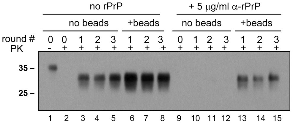 Beads counteract the negative effect of rPrP on PrP<sup>Sc</sup> amplification.