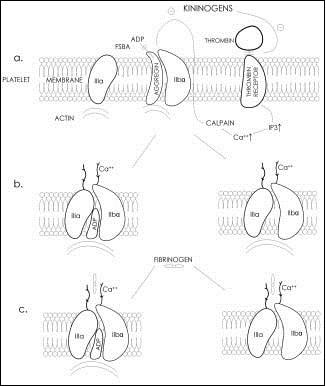 Pracovní model aktivace komplexu GPIIb/IIIa, volně podle [1].