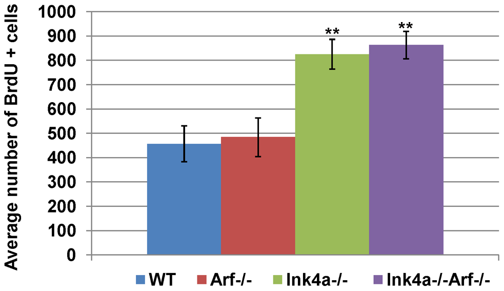 Increased frequency of BrdU-incorporating spermatogonia in <i>Ink4a</i>-null mice.