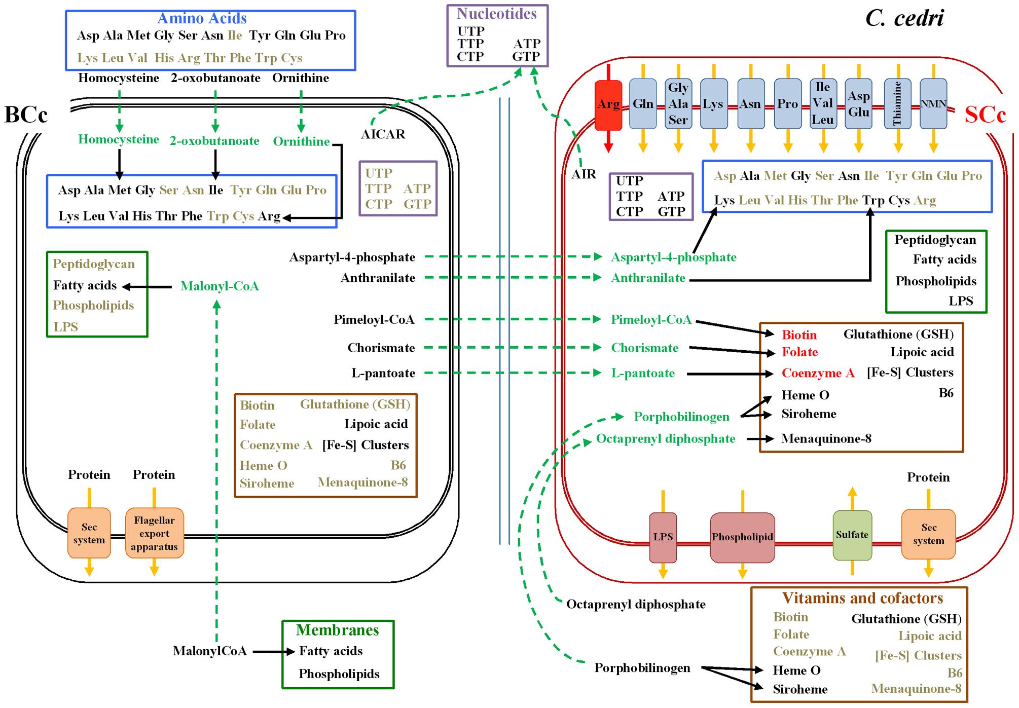 Inferred metabolism of amino acids, nucleotides, membrane compounds, cofactors, and vitamins of the <i>C. cedri</i>-consortium.