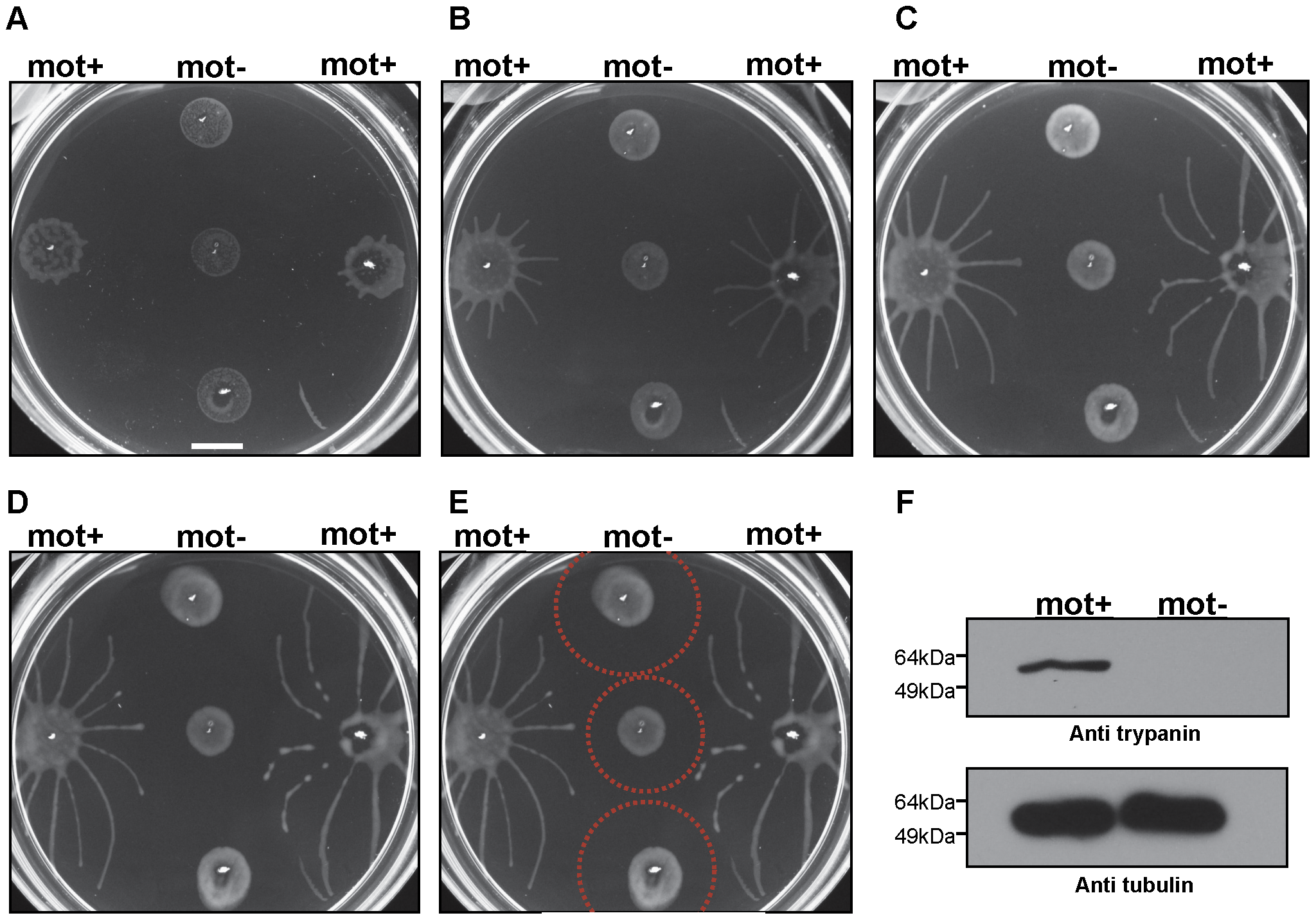 Social motility requires directional cell motility.
