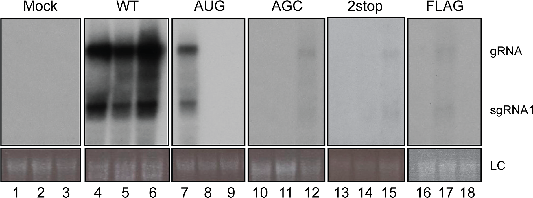 Systemic infection of <i>A. thaliana</i>.