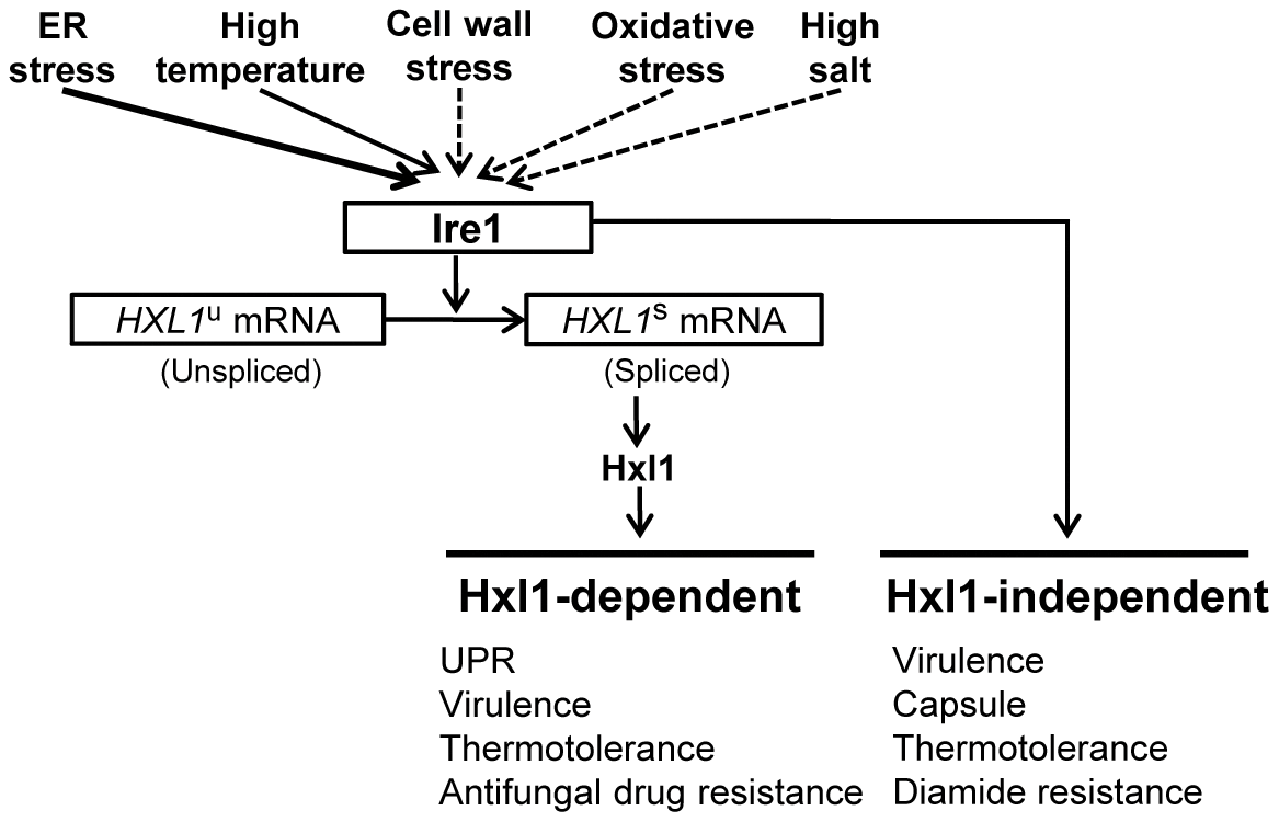 The proposed role of the UPR pathway as core stress response to various stresses in <i>C. neoformans.</i>