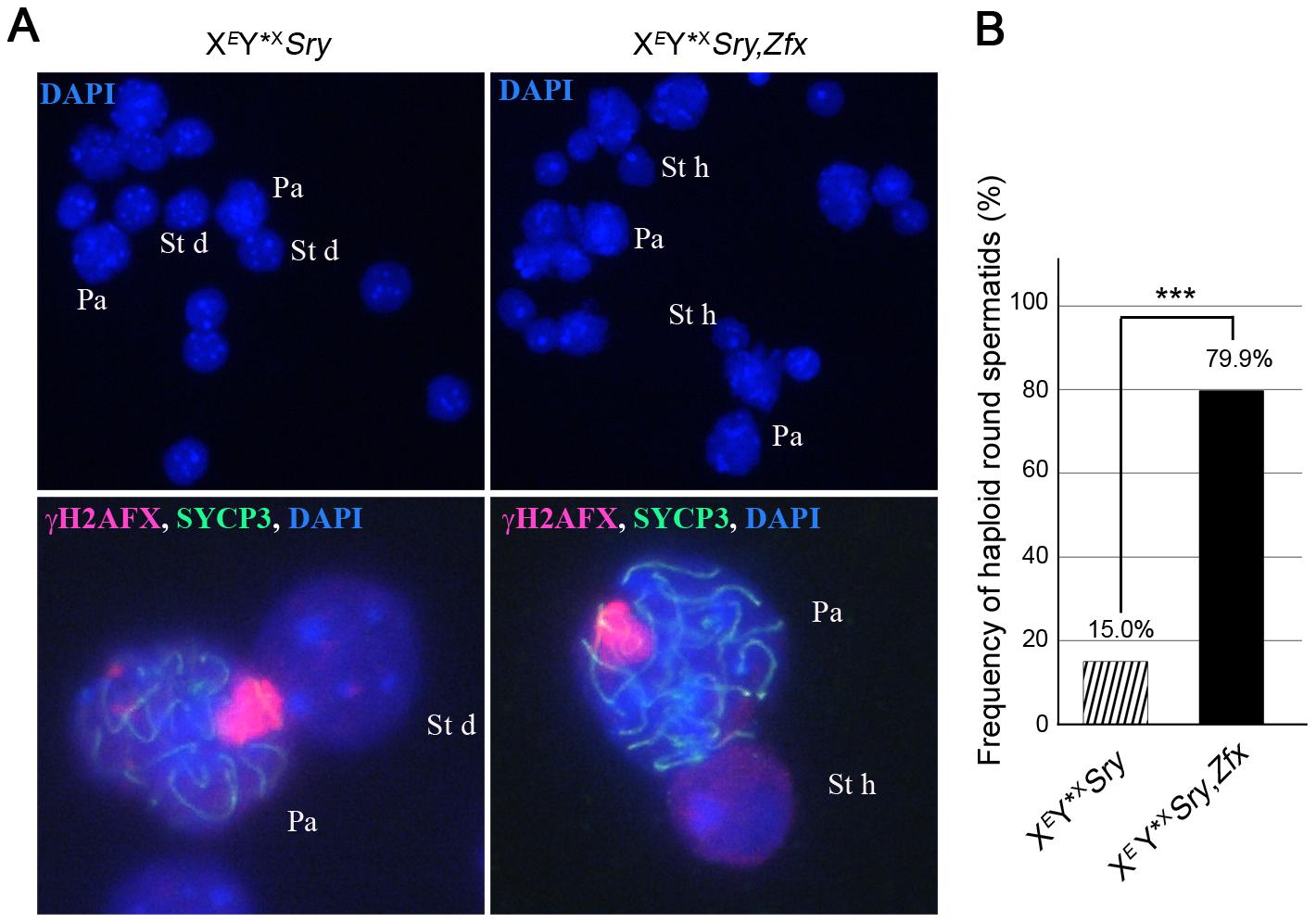 <i>Zfx</i> over-expression promotes meiosis II.