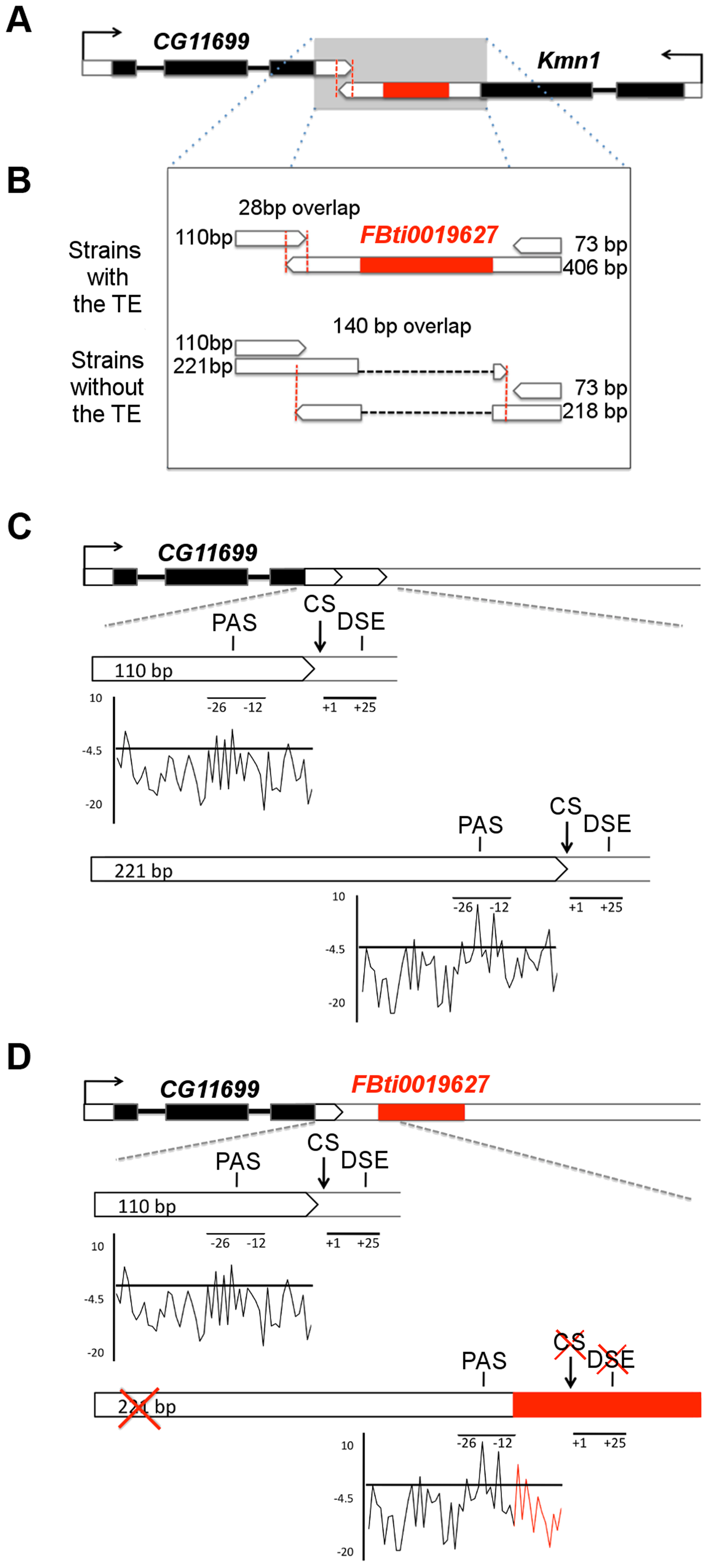 <i>FBti0019627</i> is inserted in the 3′ UTR of <i>Kmn1</i> and affects the length of <i>Kmn1</i> and <i>CG11699</i>.