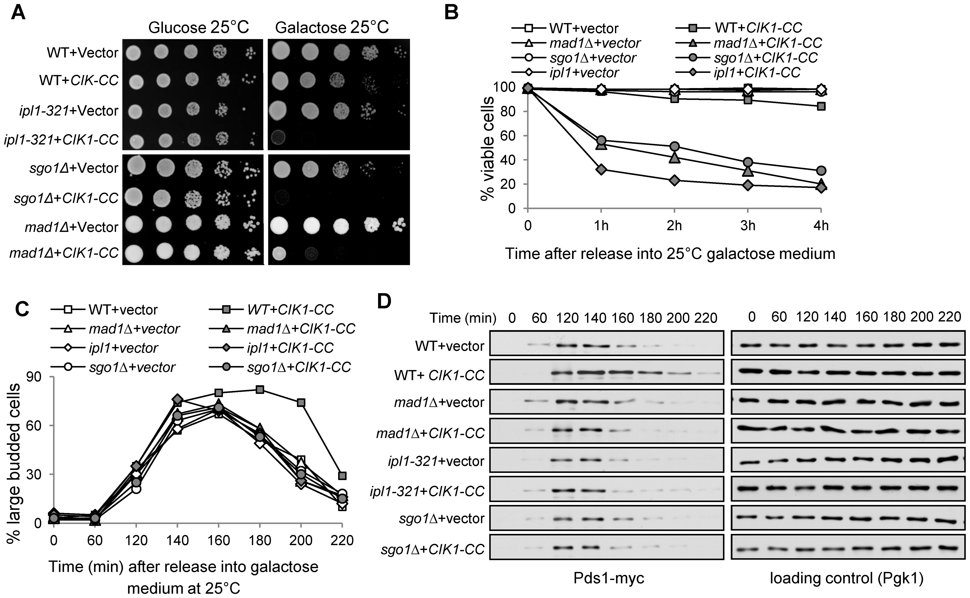 Overexpression of <i>CIK1-CC</i> results in checkpoint-dependent anaphase entry delay.