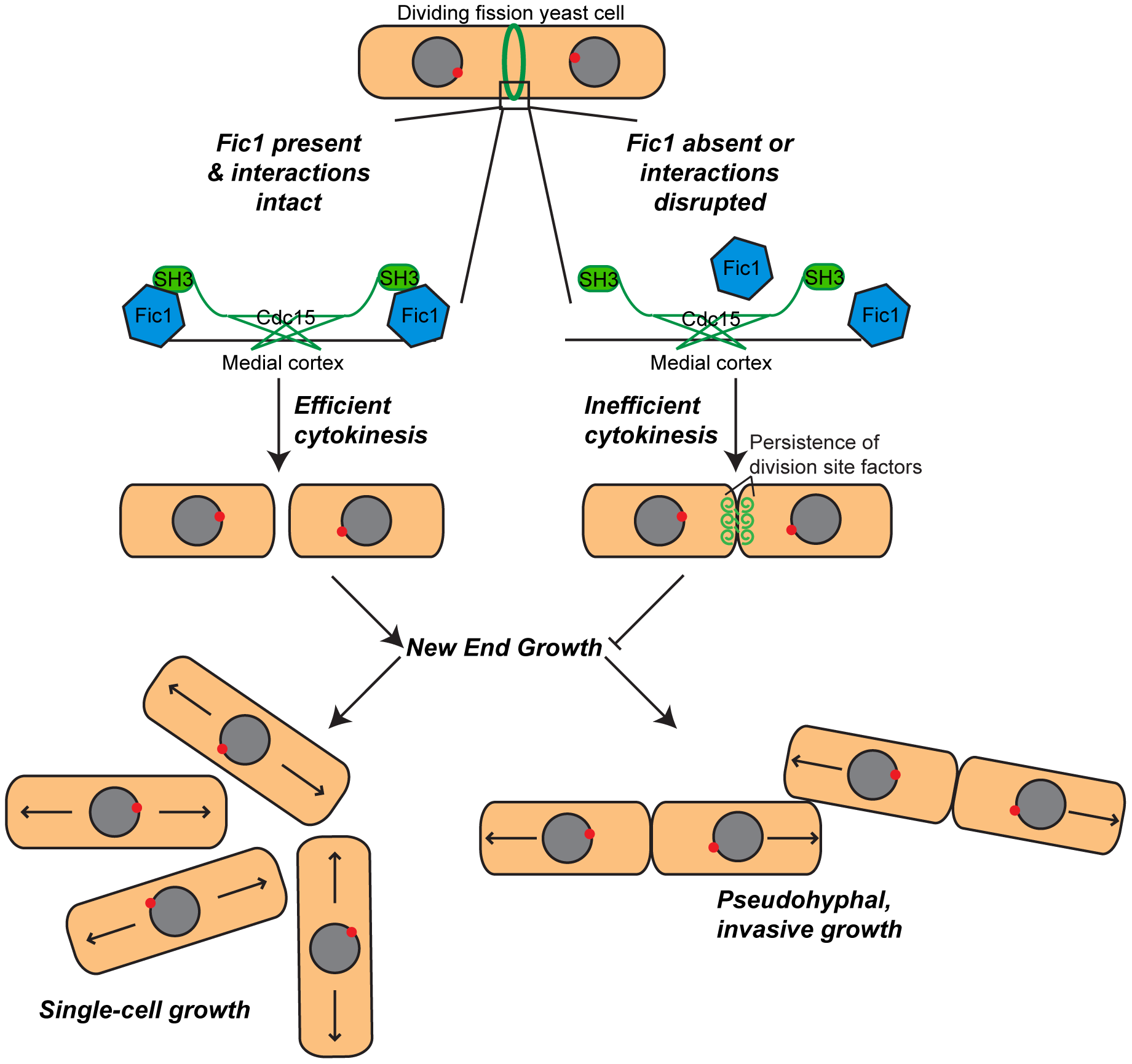 Model of Fic1's involvement in cytokinesis and the establishment of bipolar growth in <i>S.</i>