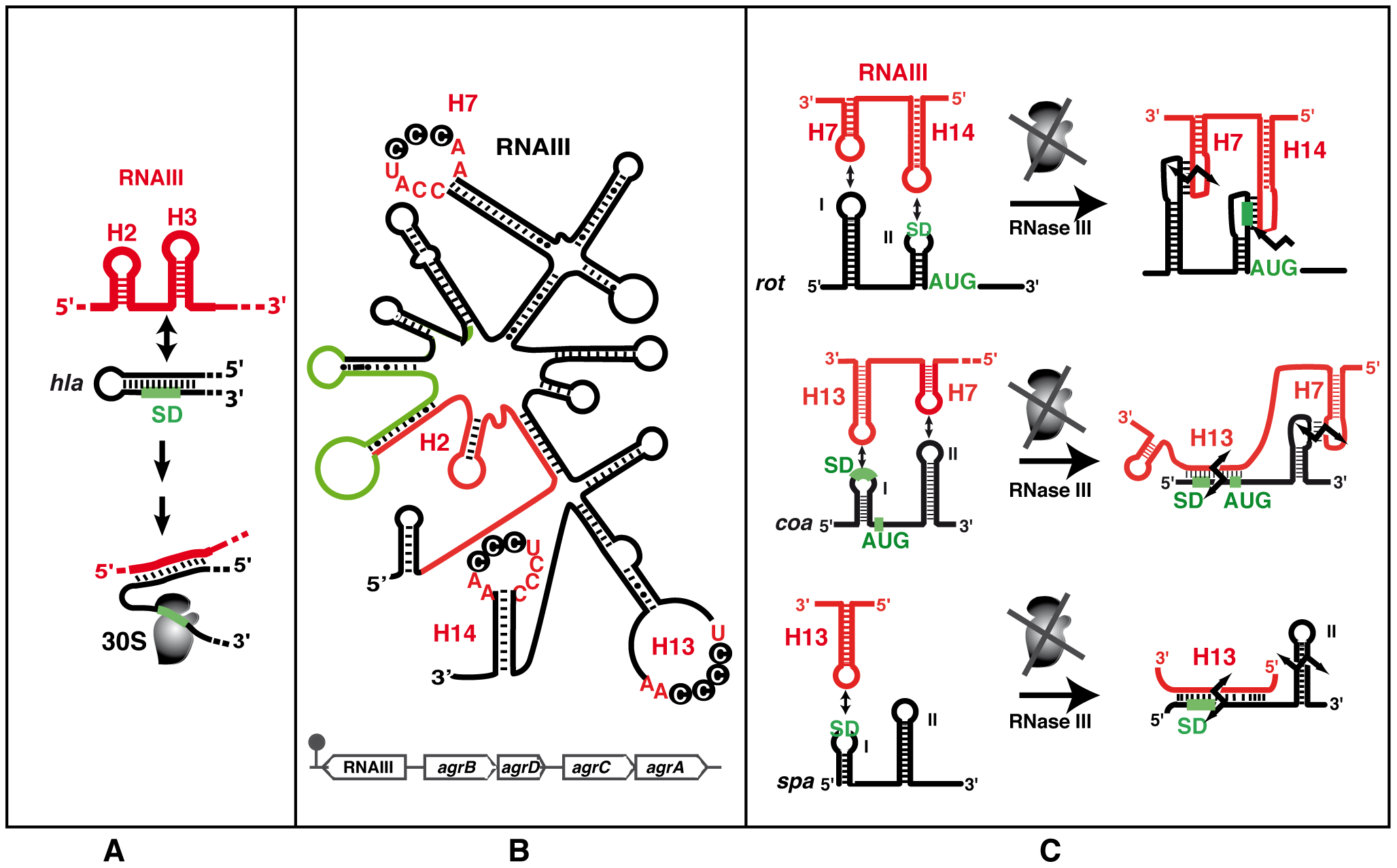 The functional RNAIII structure and its mRNA targets.