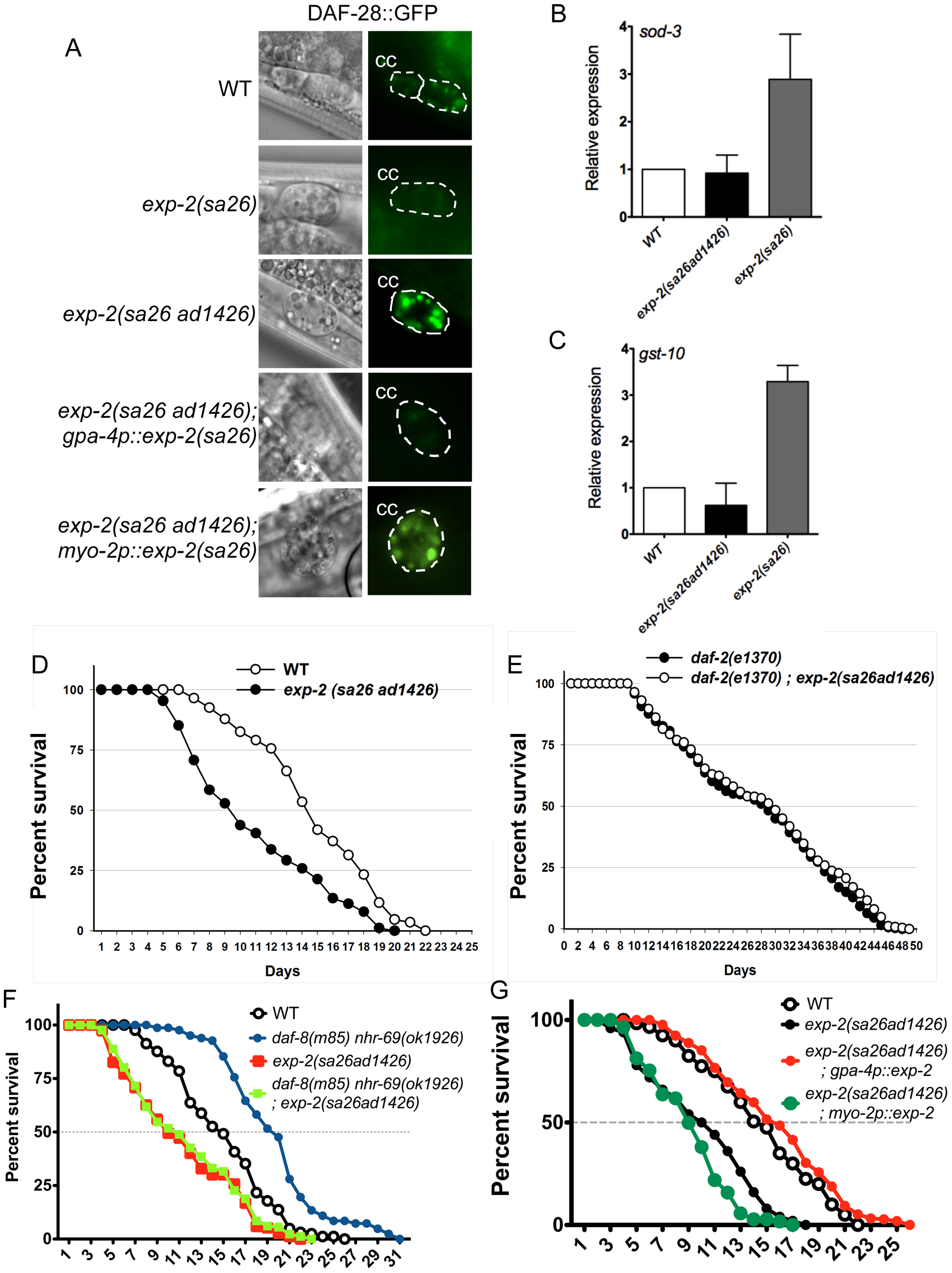 Insulin signaling is impaired in <i>exp-2</i> mutants.