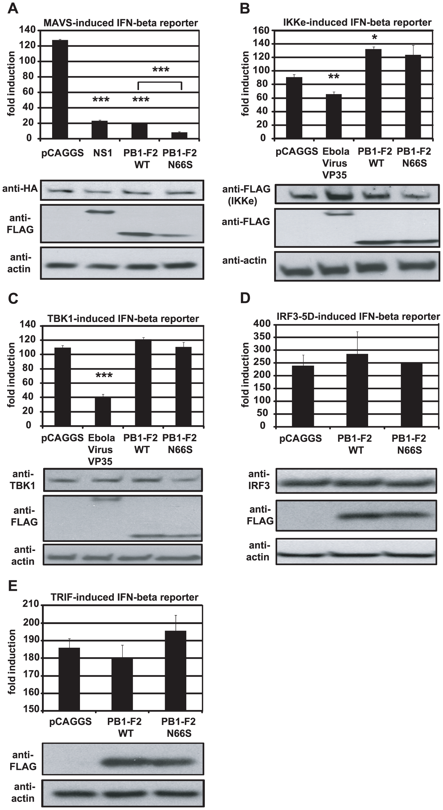 PB1-F2 inhibits IFN induction at the level of MAVS.