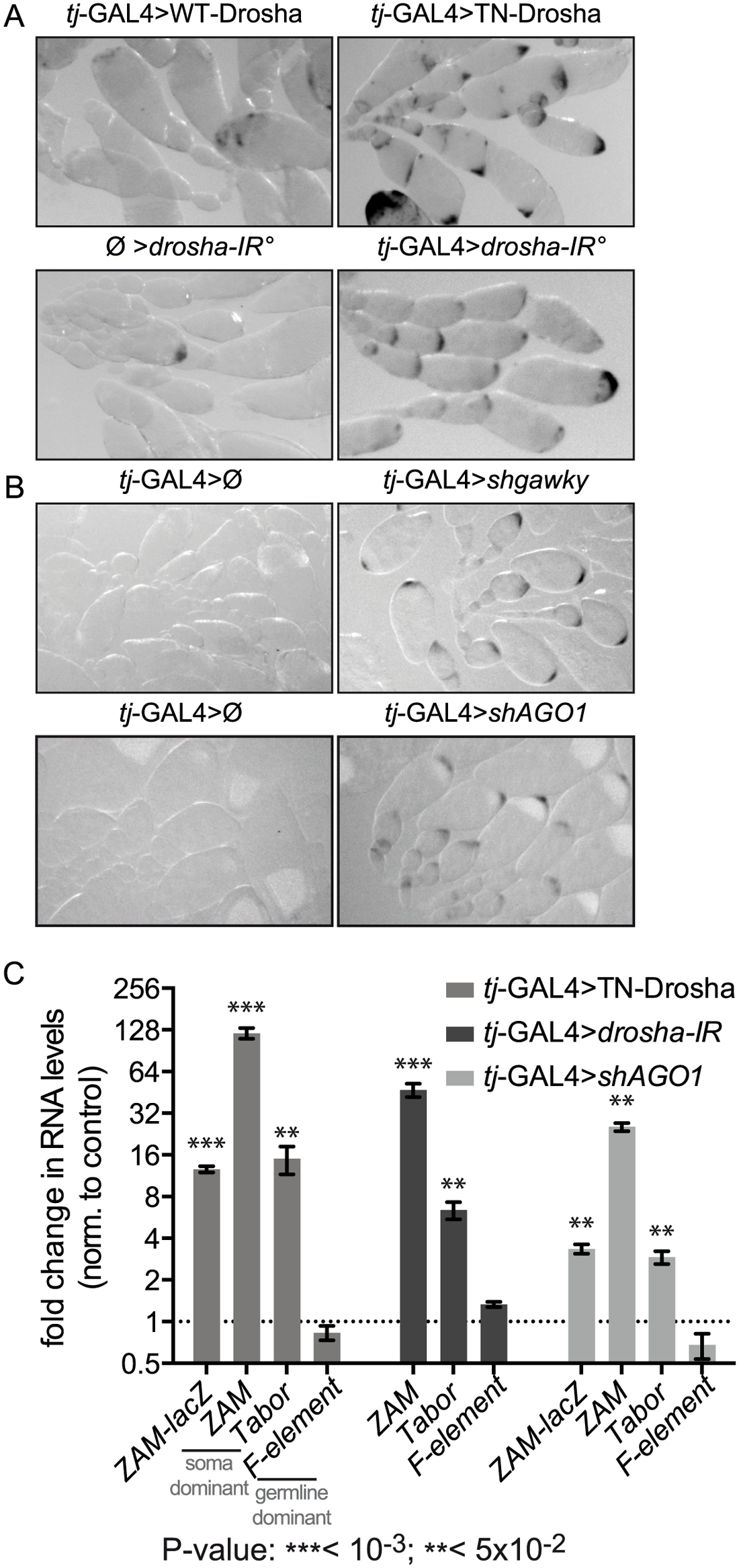 Follicle cell-specific defects in the miRNA pathway lead to <i>ZAM-</i>lacZ reporter and somatic TE de-repression.