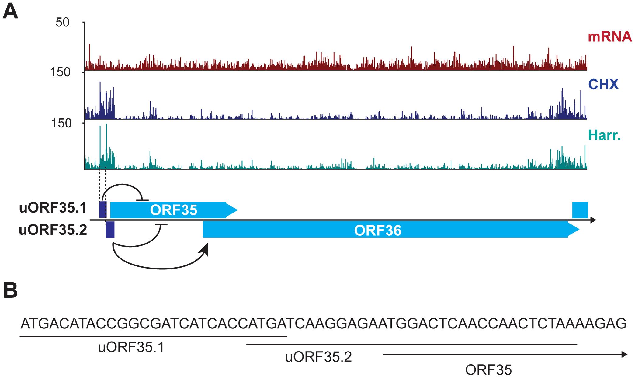 KSHV encodes functional uORFs.