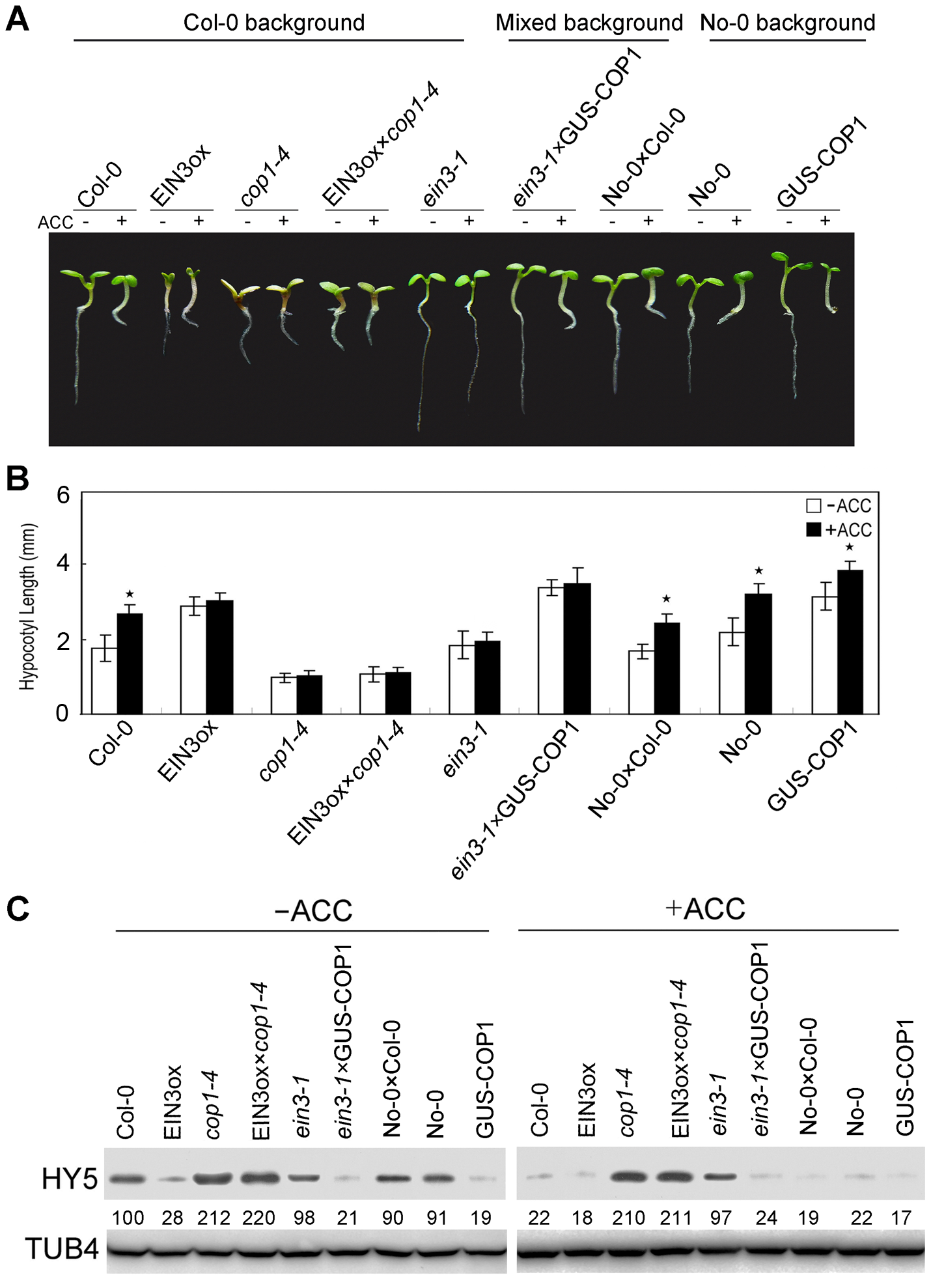 COP1 acts downstream of EIN3 to modulate ethylene-promoted hypocotyl growth.