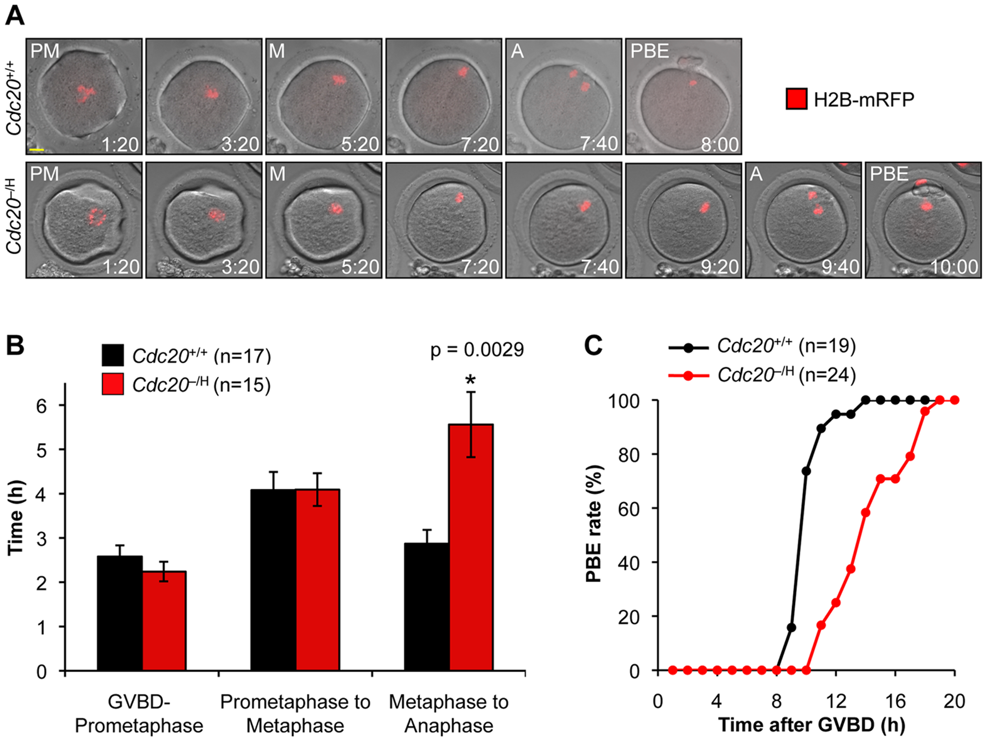 Metaphase I is retarded in <i>Cdc20</i><sup>−/H</sup> oocytes.