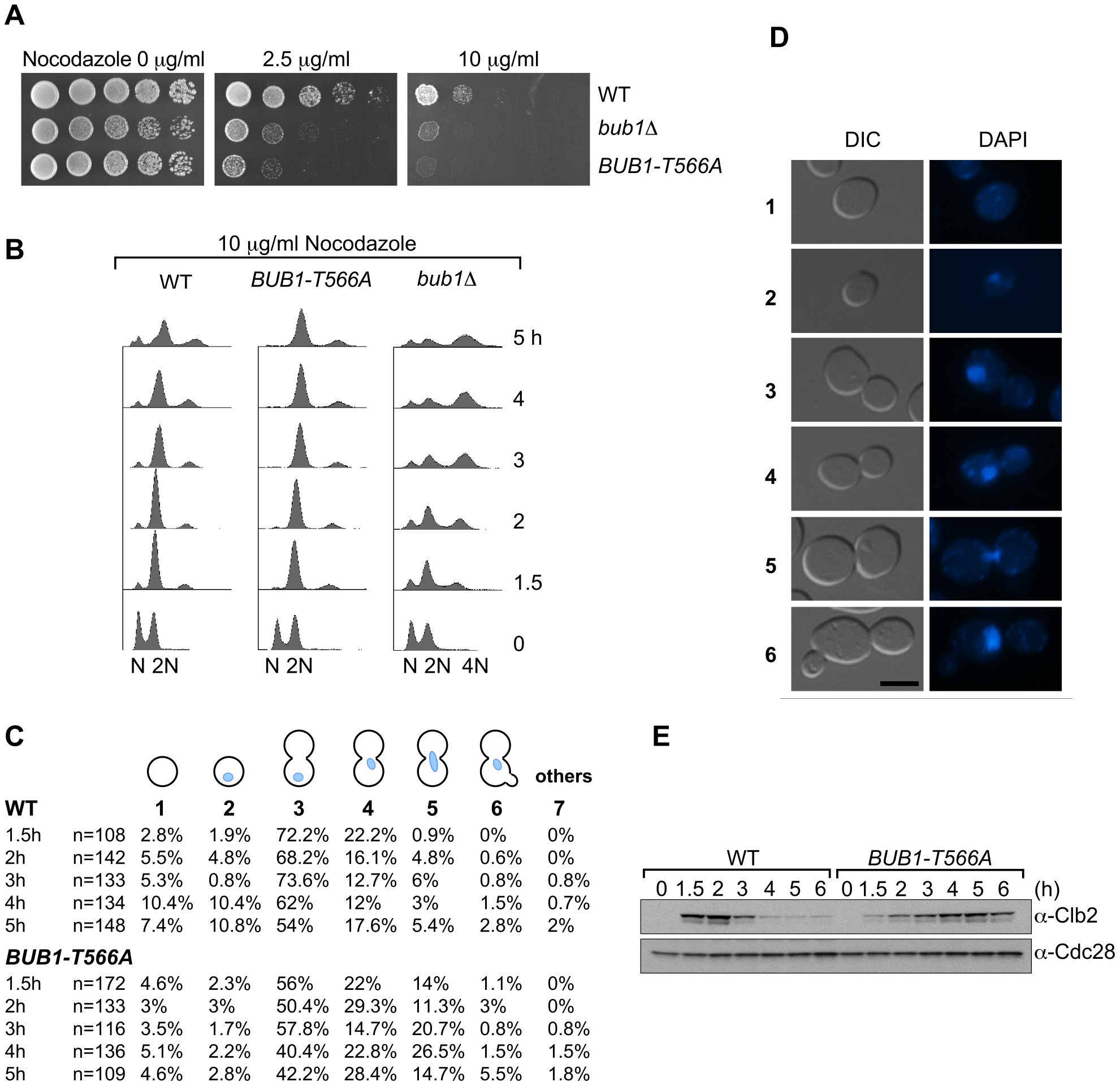 <i>BUB1-T566A</i> mutant cells are deficient in adapting to mitotic arrest induced by nocodazole treatment.