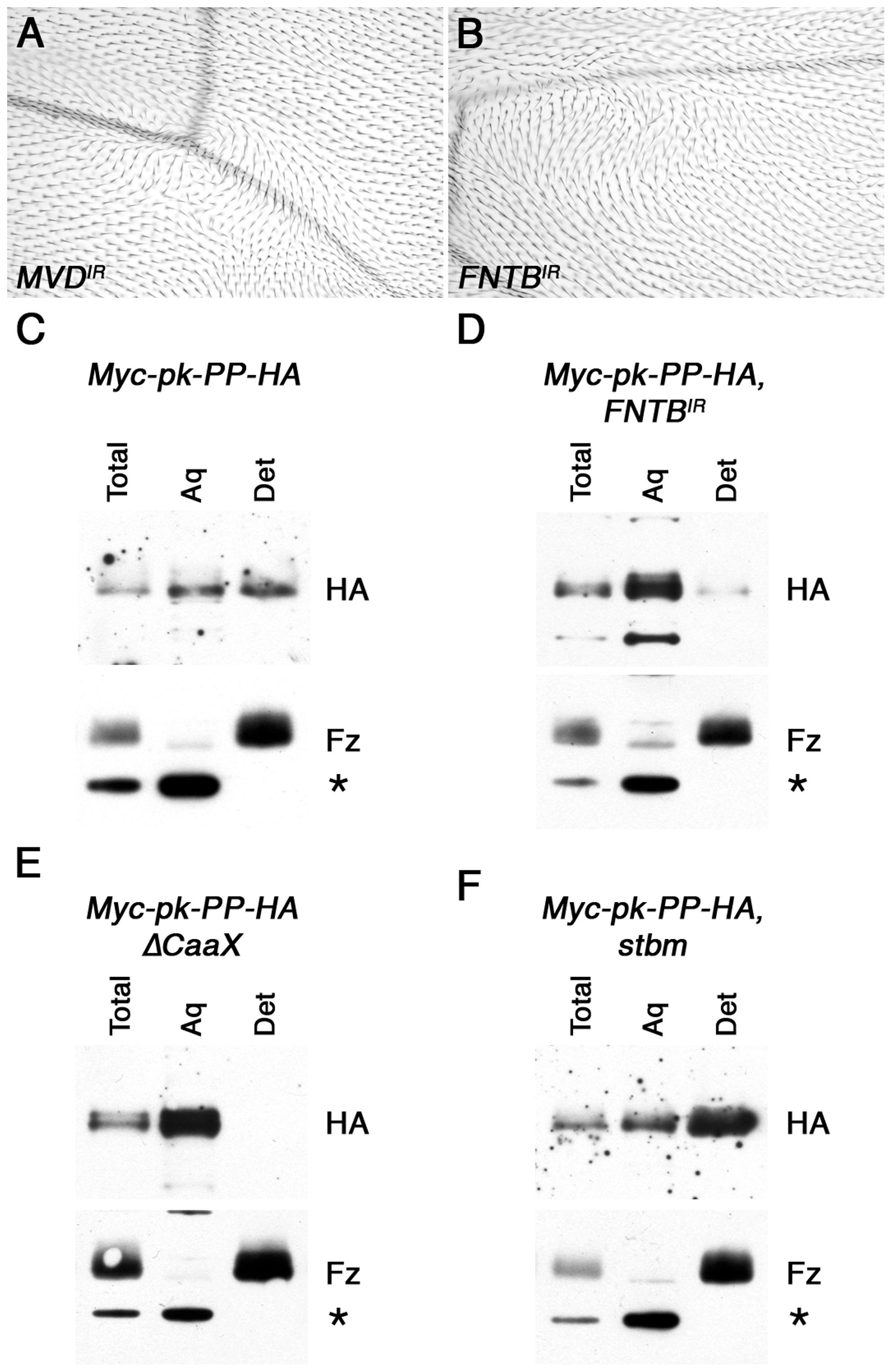 <i>In vivo</i> farnesylation of Pk.