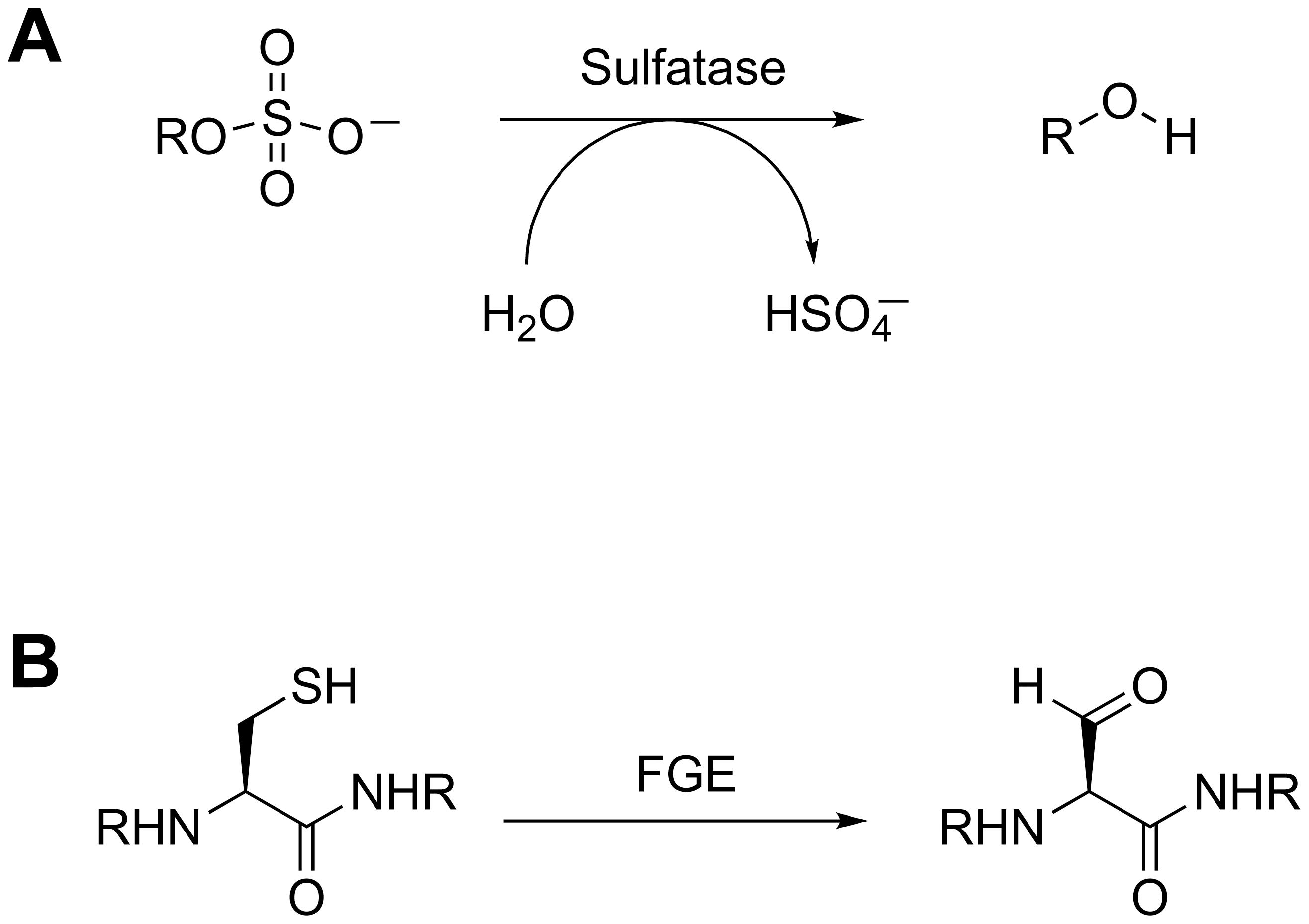 Sulfatase biochemistry.