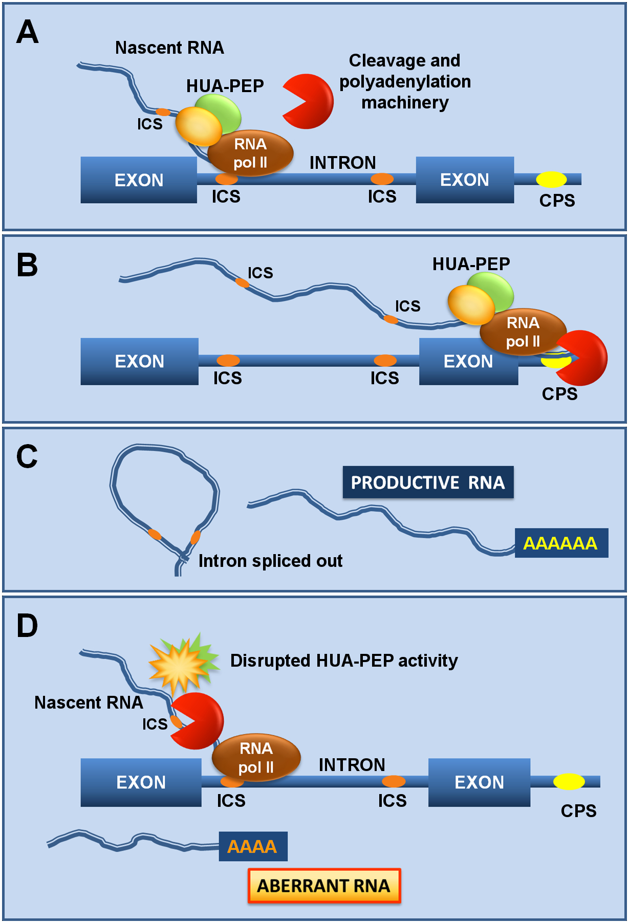 The HUA-PEP activity facilitates pre-mRNA processing of target genes.