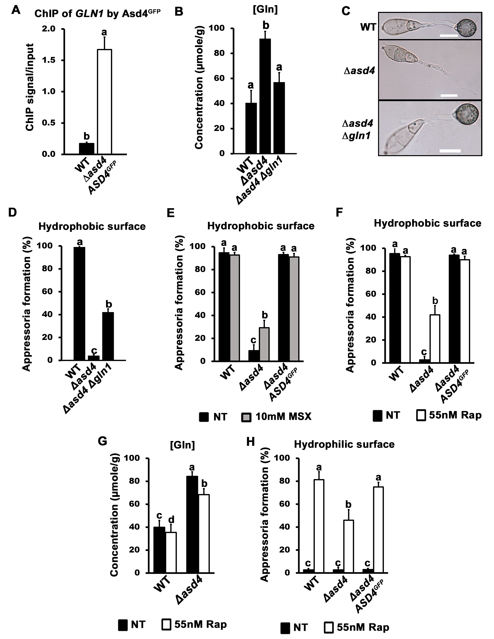 A real or perceived reduction in intracellular glutamine levels restores appressorium formation to Δ<i>asd4</i> mutant strains.