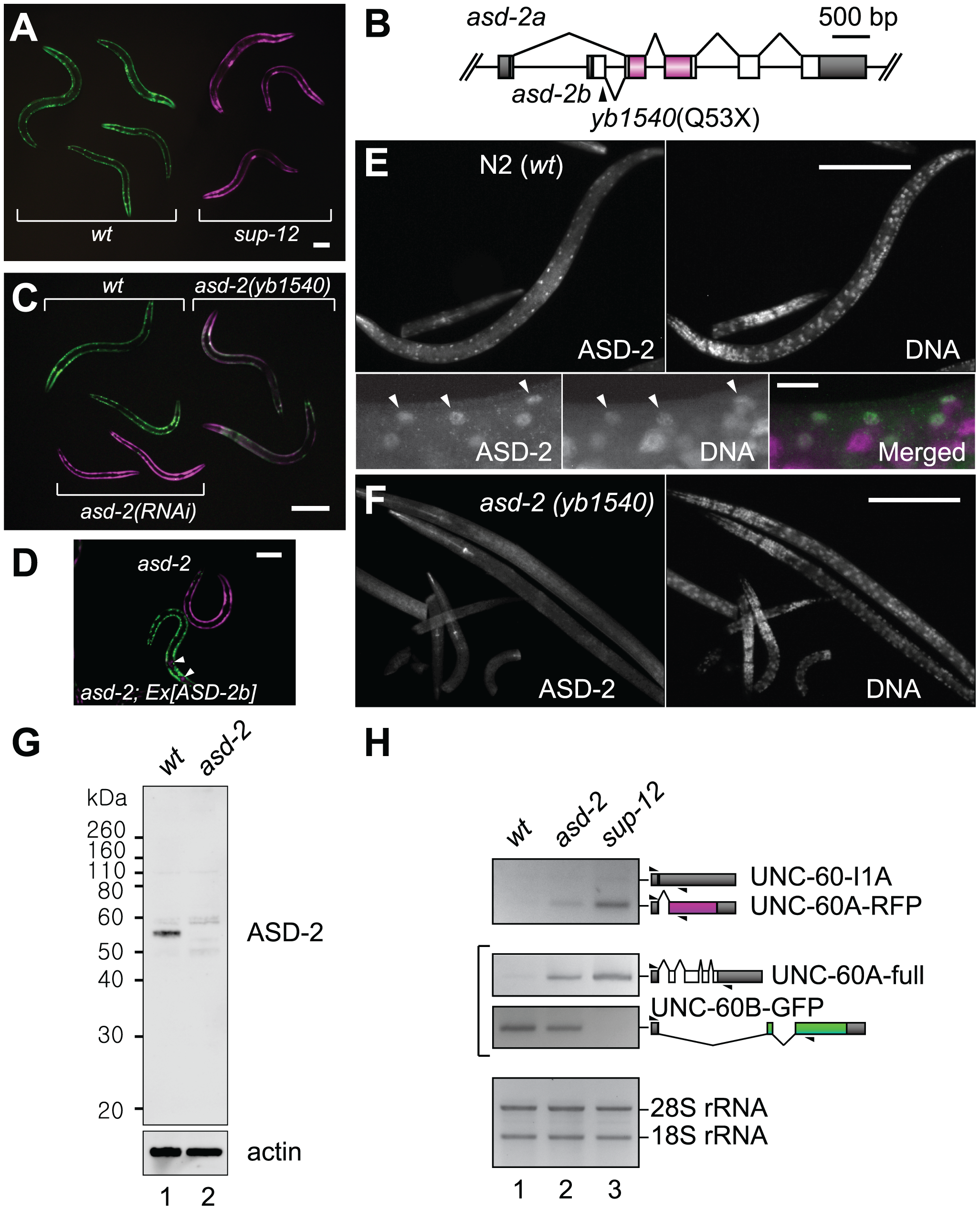 ASD-2 and SUP-12 regulate muscle-specific processing of the <i>unc-60</i> reporter in body wall muscles.